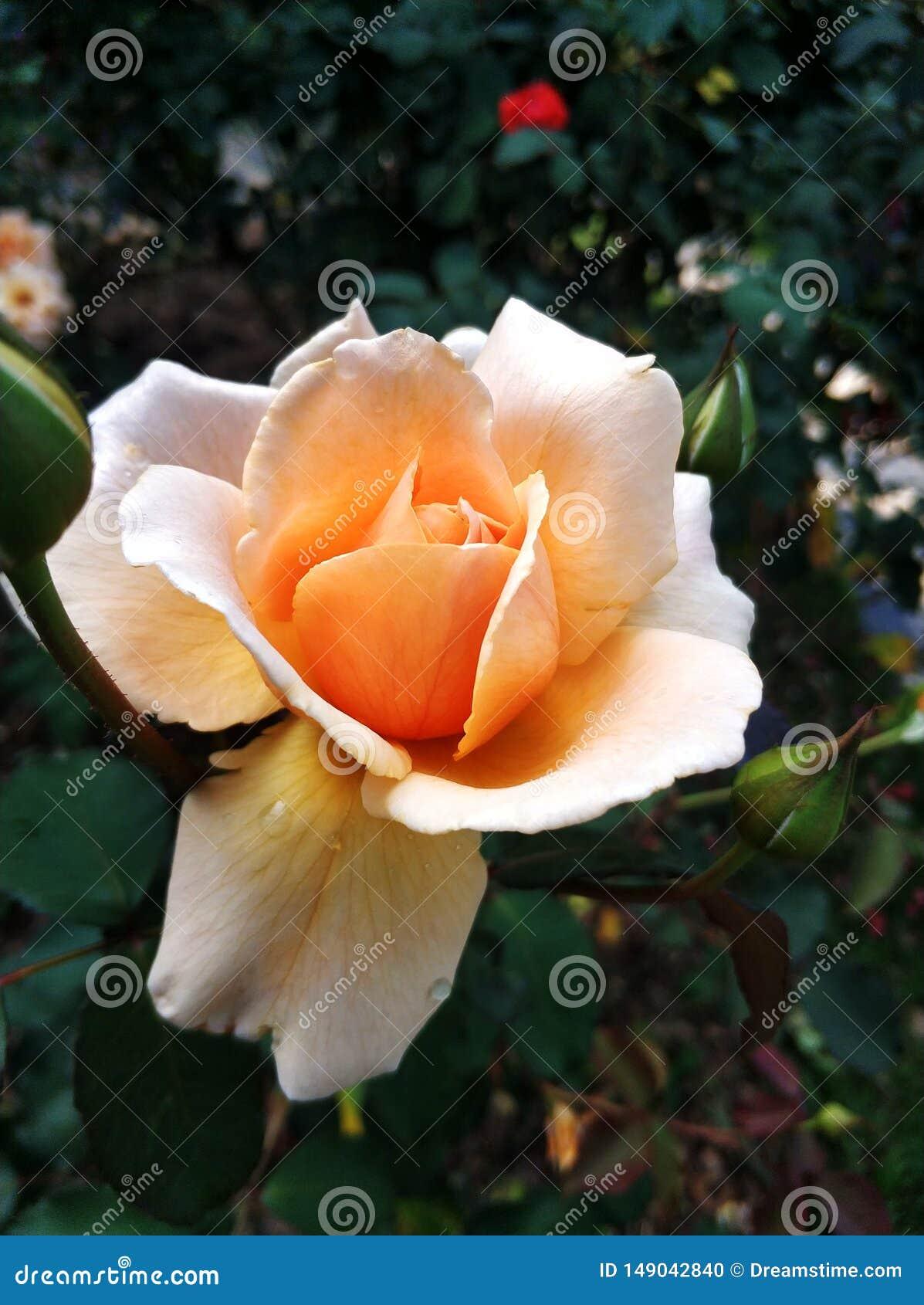 Odorata de Rosa