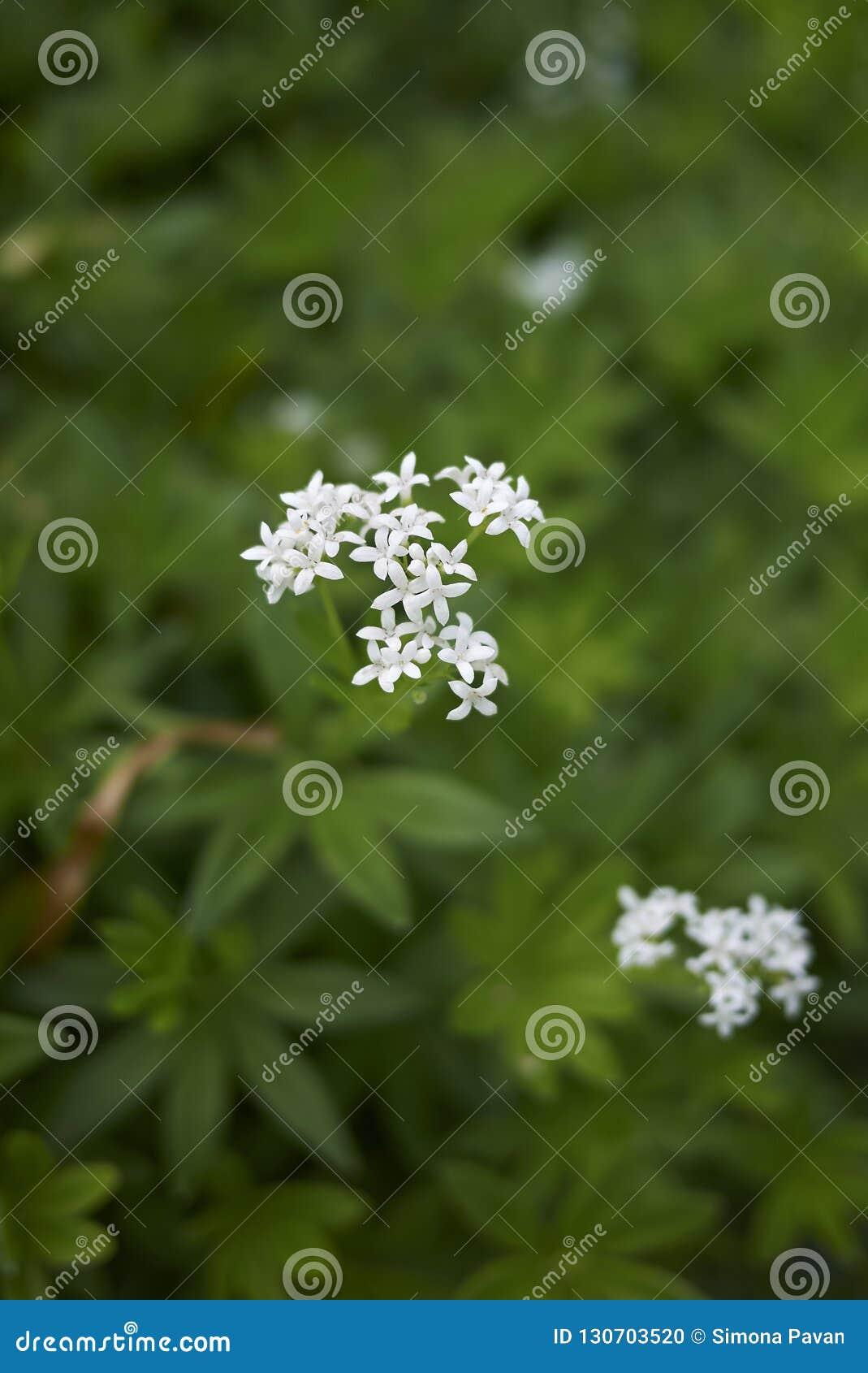 Odoratum del galio con las flores blancas
