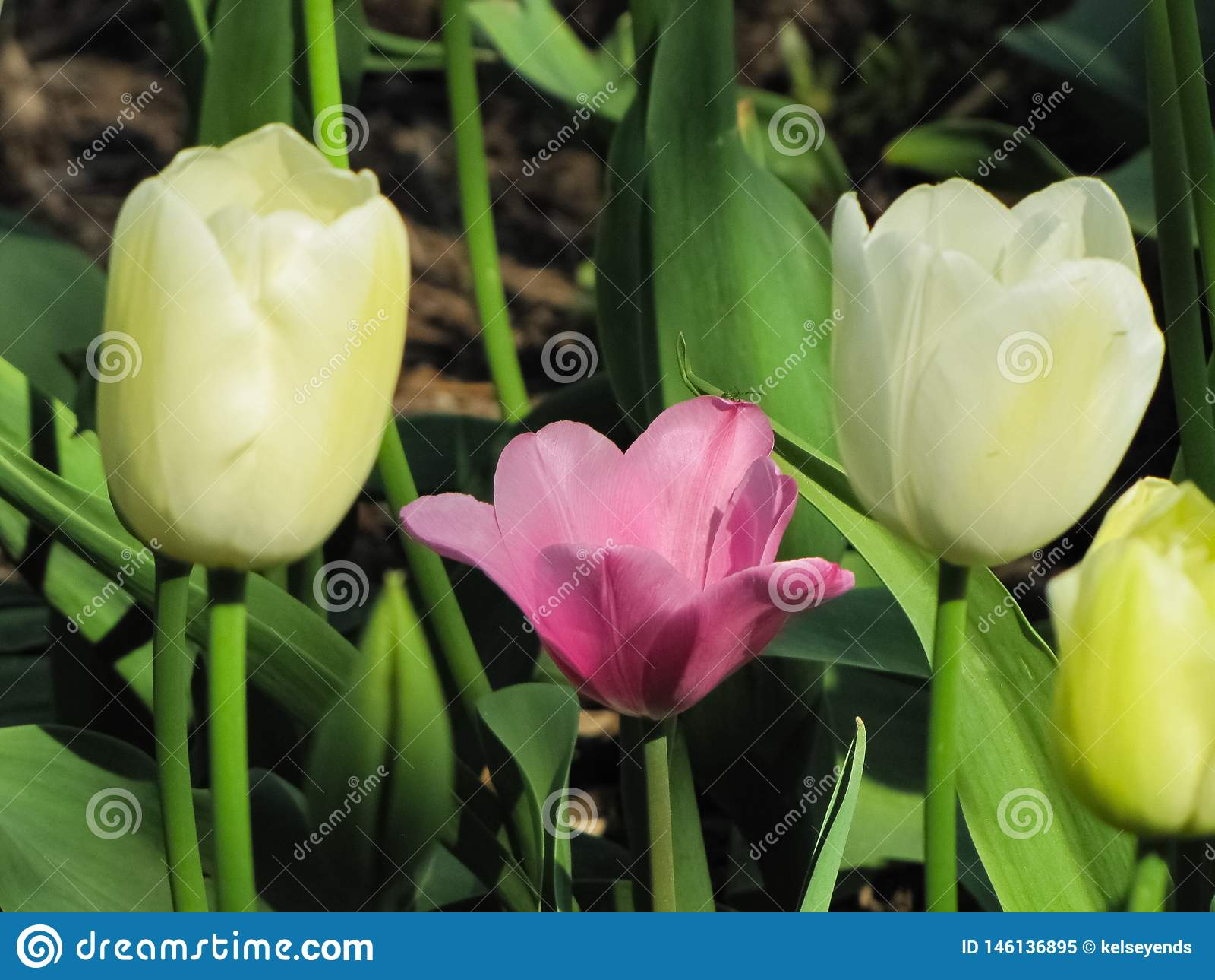 Odosobneni R??owi i Biali tulipany z chocho?em
