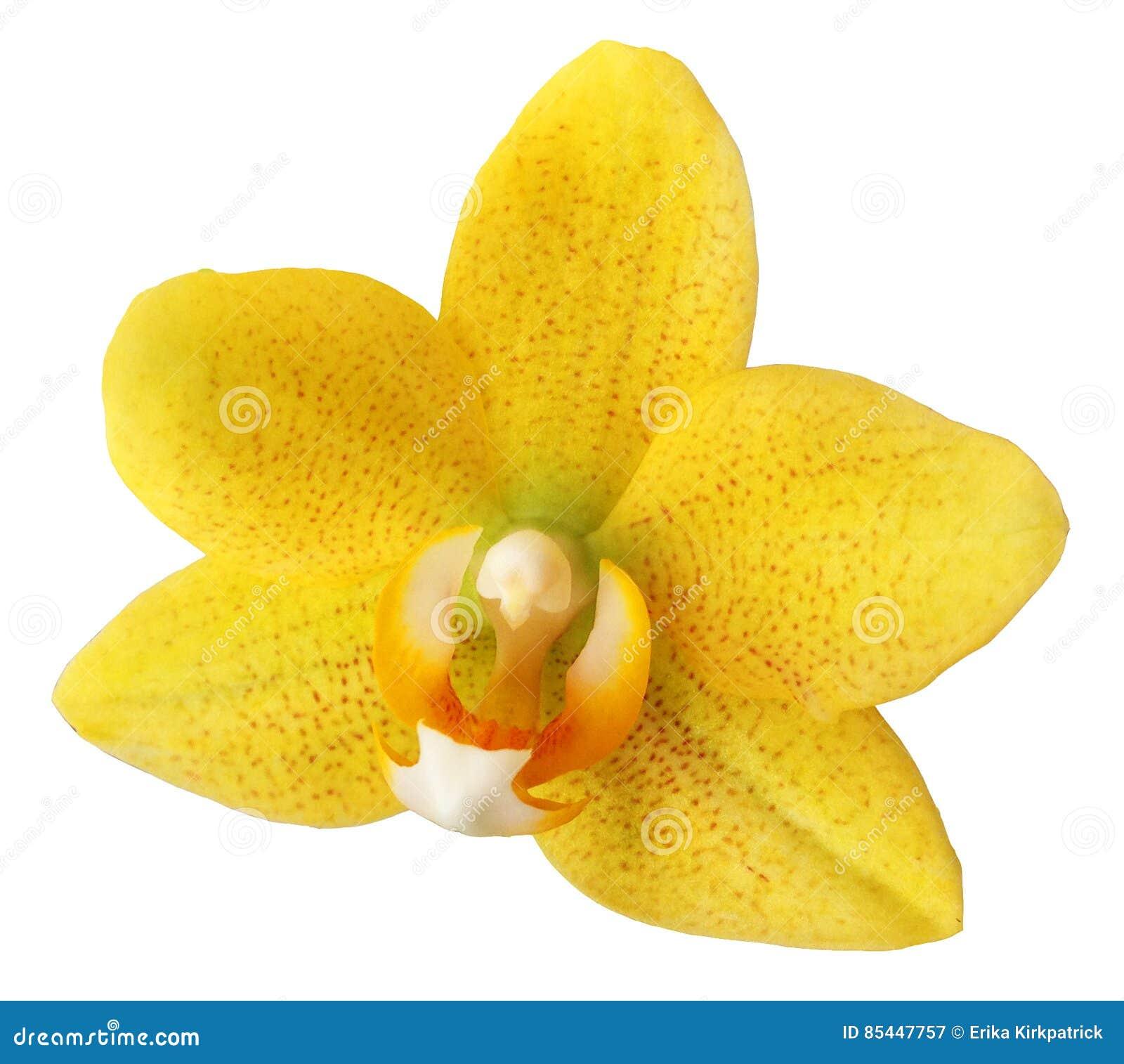 Odosobniona kwiat orchidea