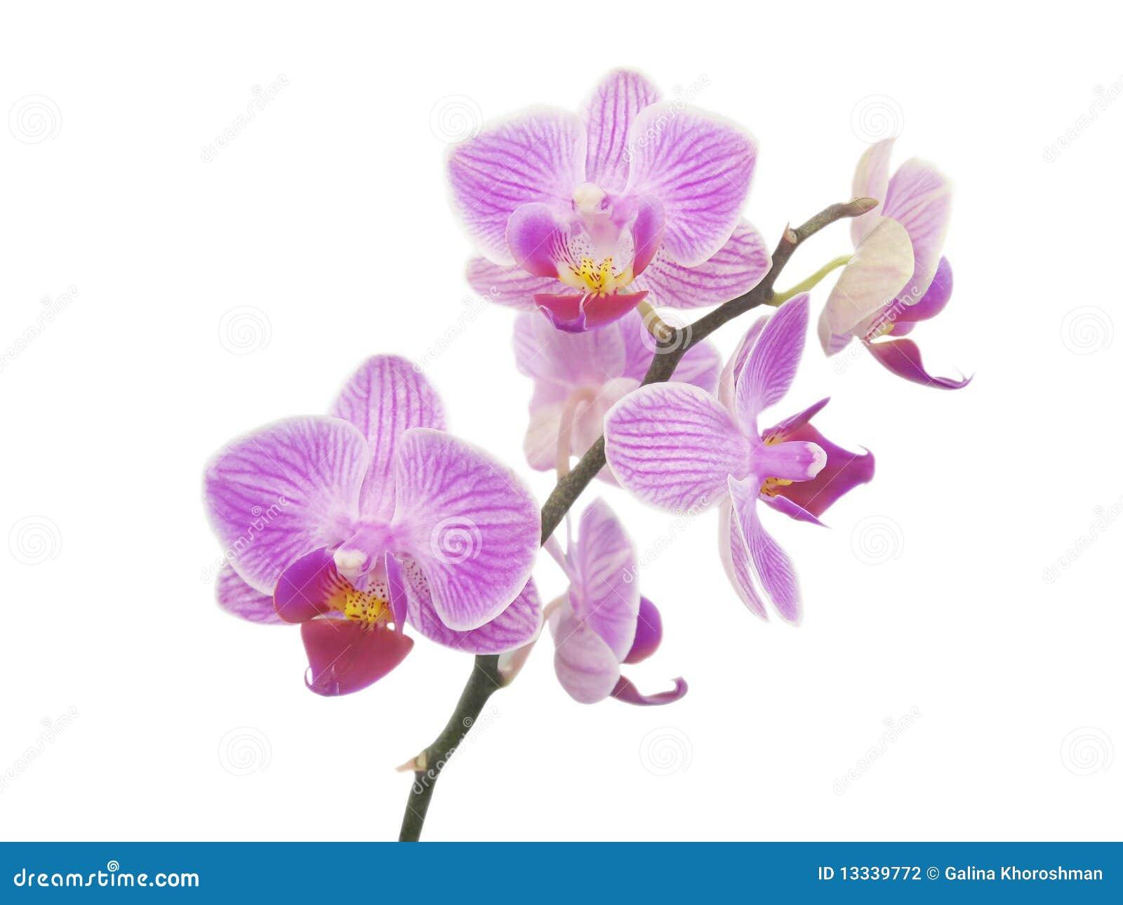Odosobniona orchidea