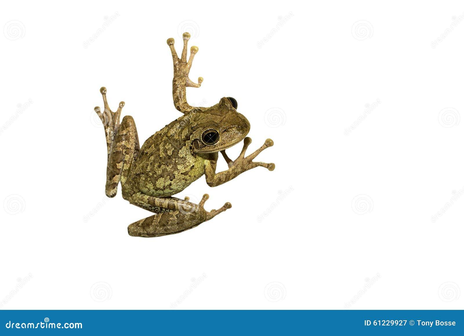 Odosobniony żaby drzewo