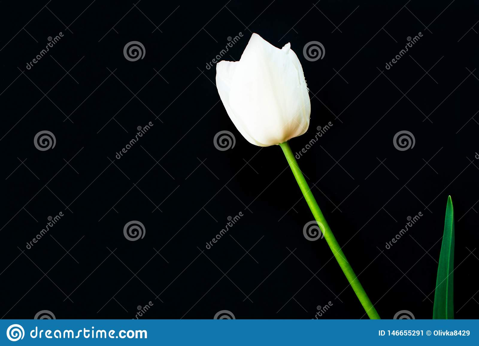 Odosobniony biały tulipan na czarnym tle