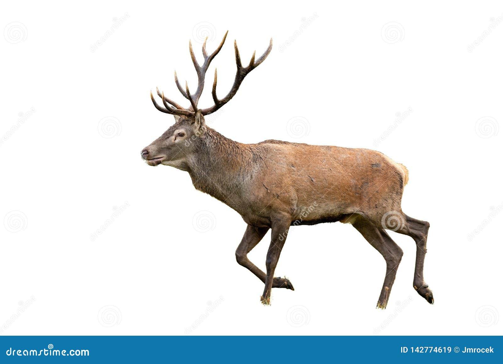 Odosobniony chodzący czerwonych rogaczy jeleń z poroże