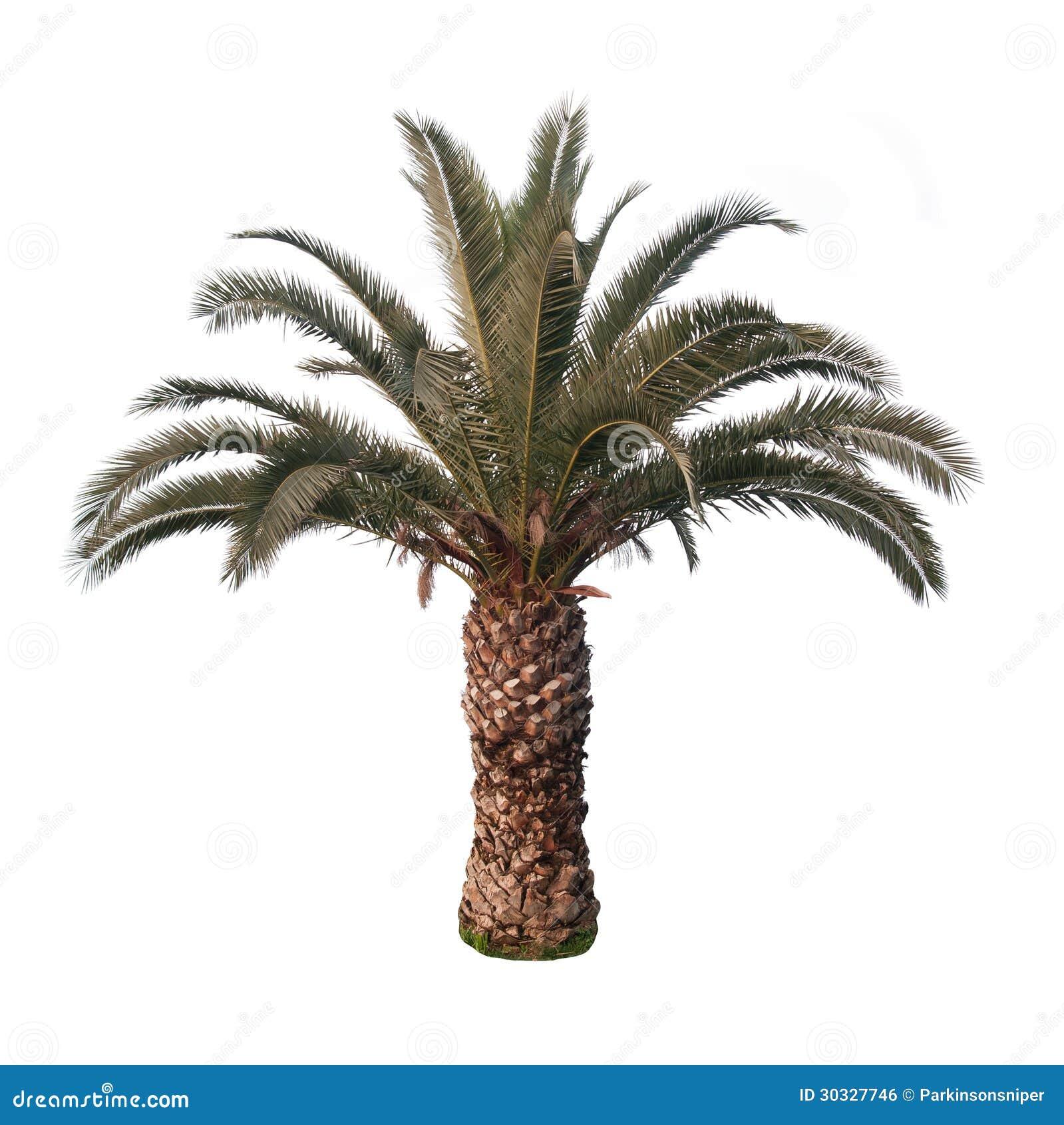 Odosobniony drzewko palmowe