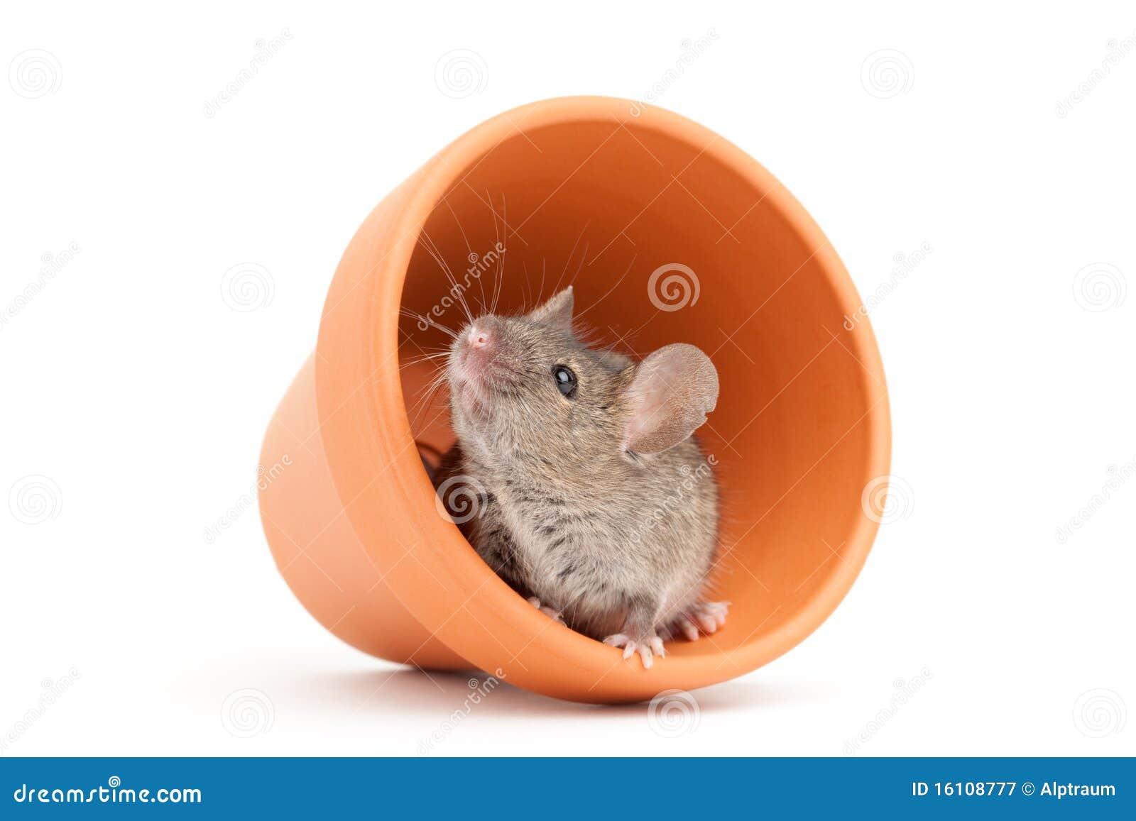 Odosobniony myszy garnka biel