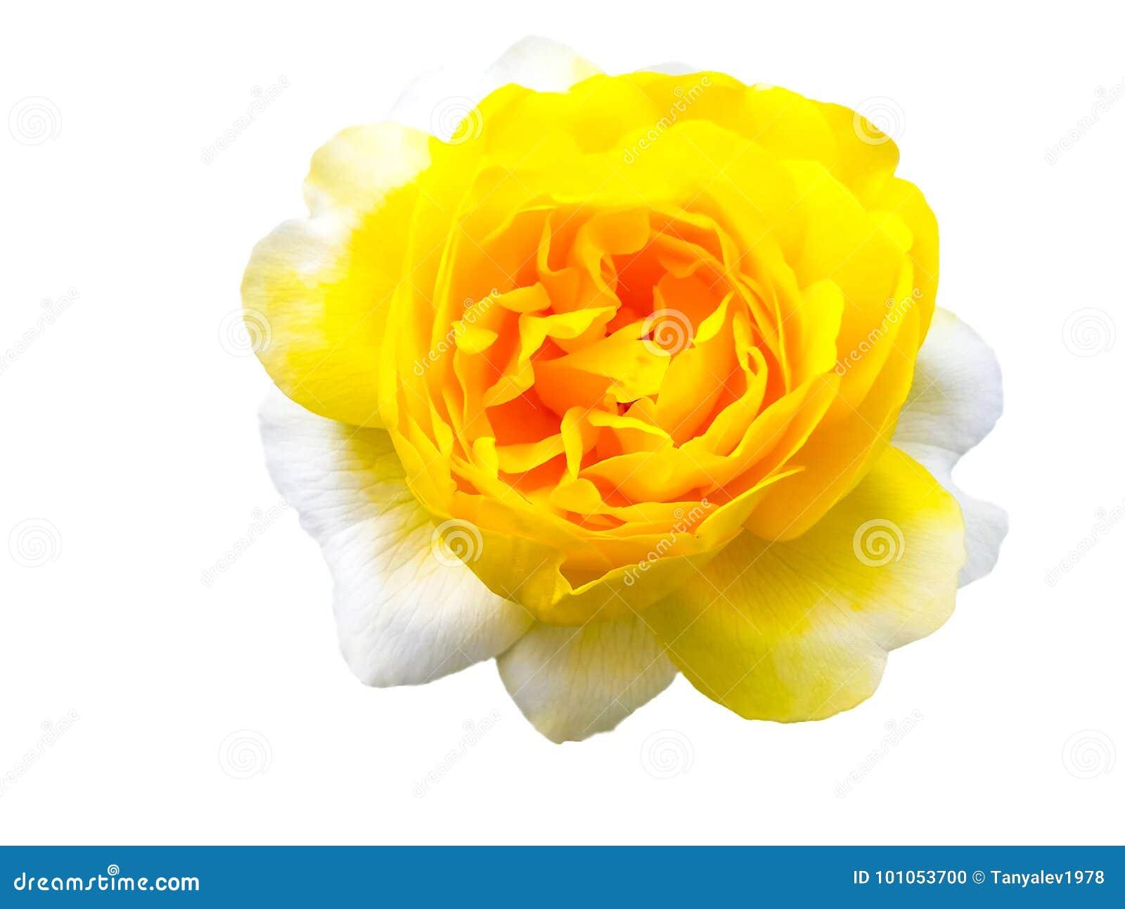 Odosobniony różany kolor żółty