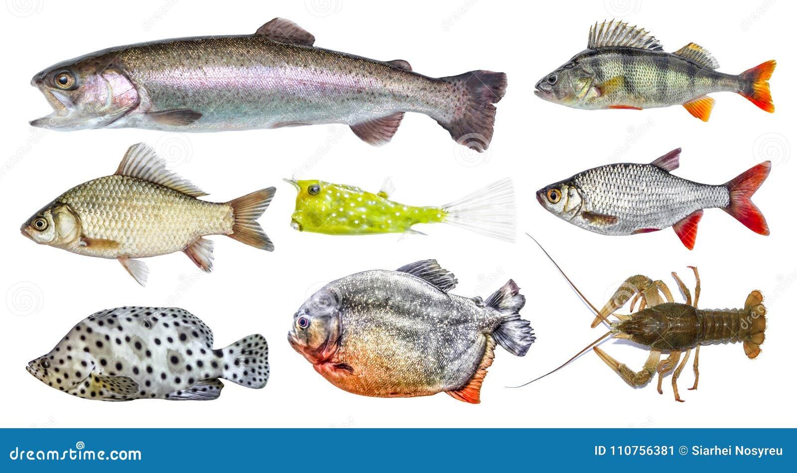 Odosobniony ryba set, kolekcja Boczny widok żywa świeża ryba