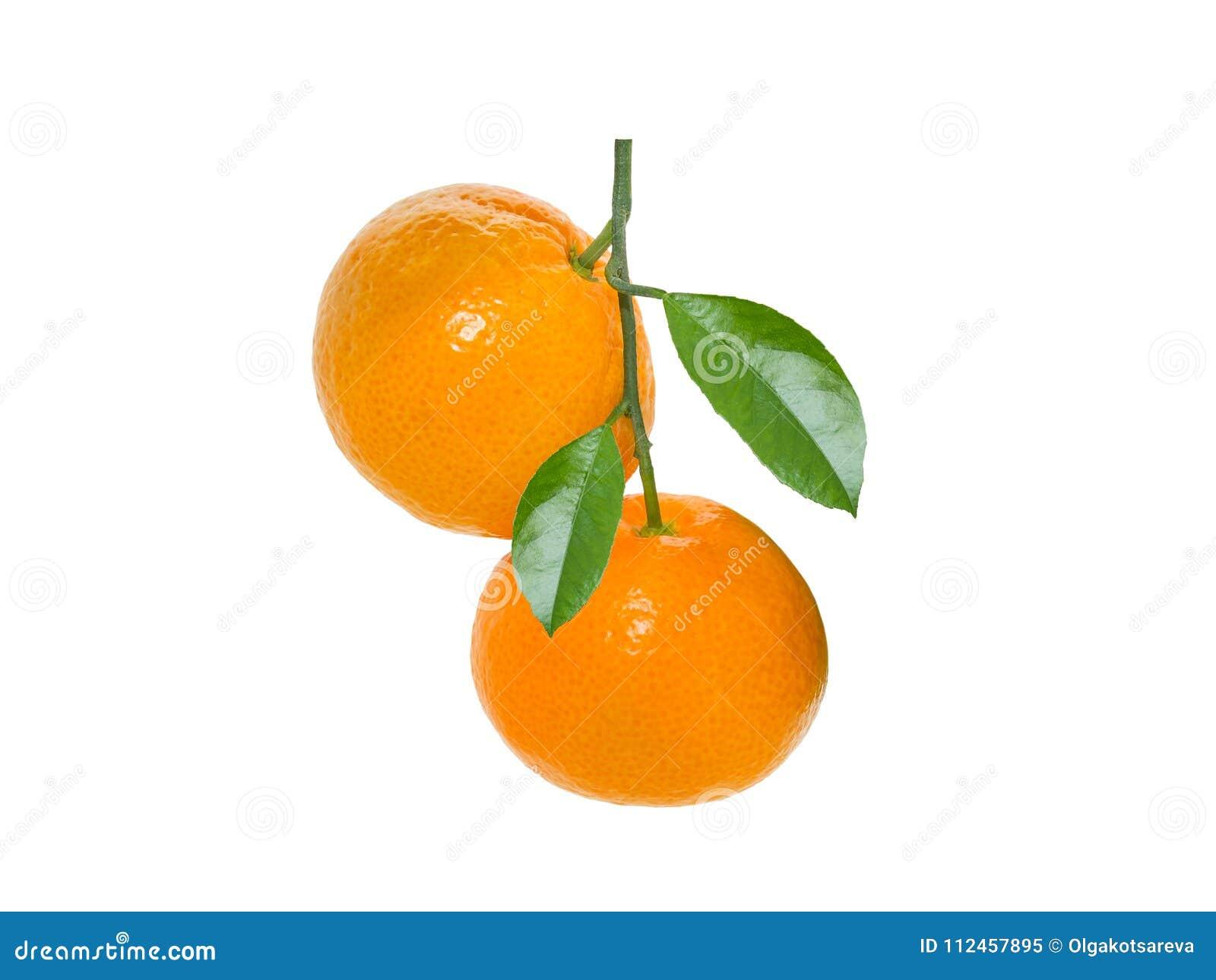 Odosobniony tangerine Dwa tangerines na gałąź pionowo odizolowywającej na białym tle z liśćmi wiesza