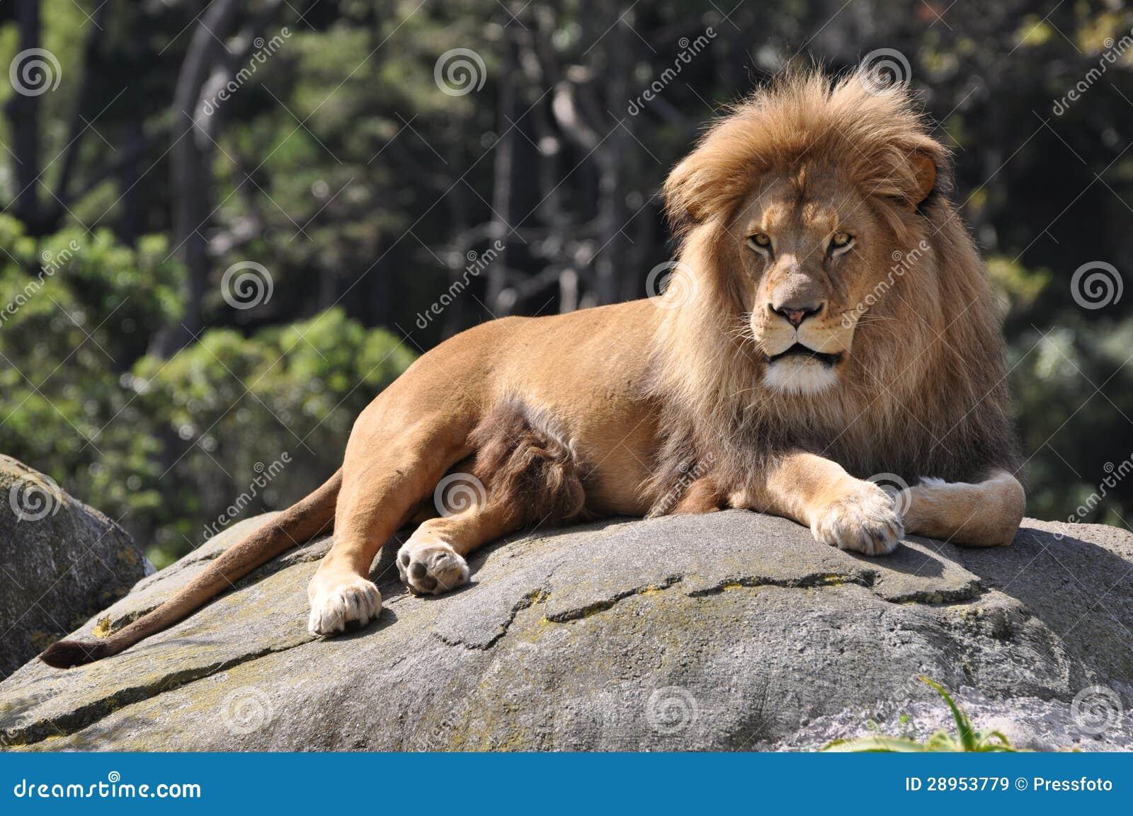 Odpoczynkowy afrykański lew.