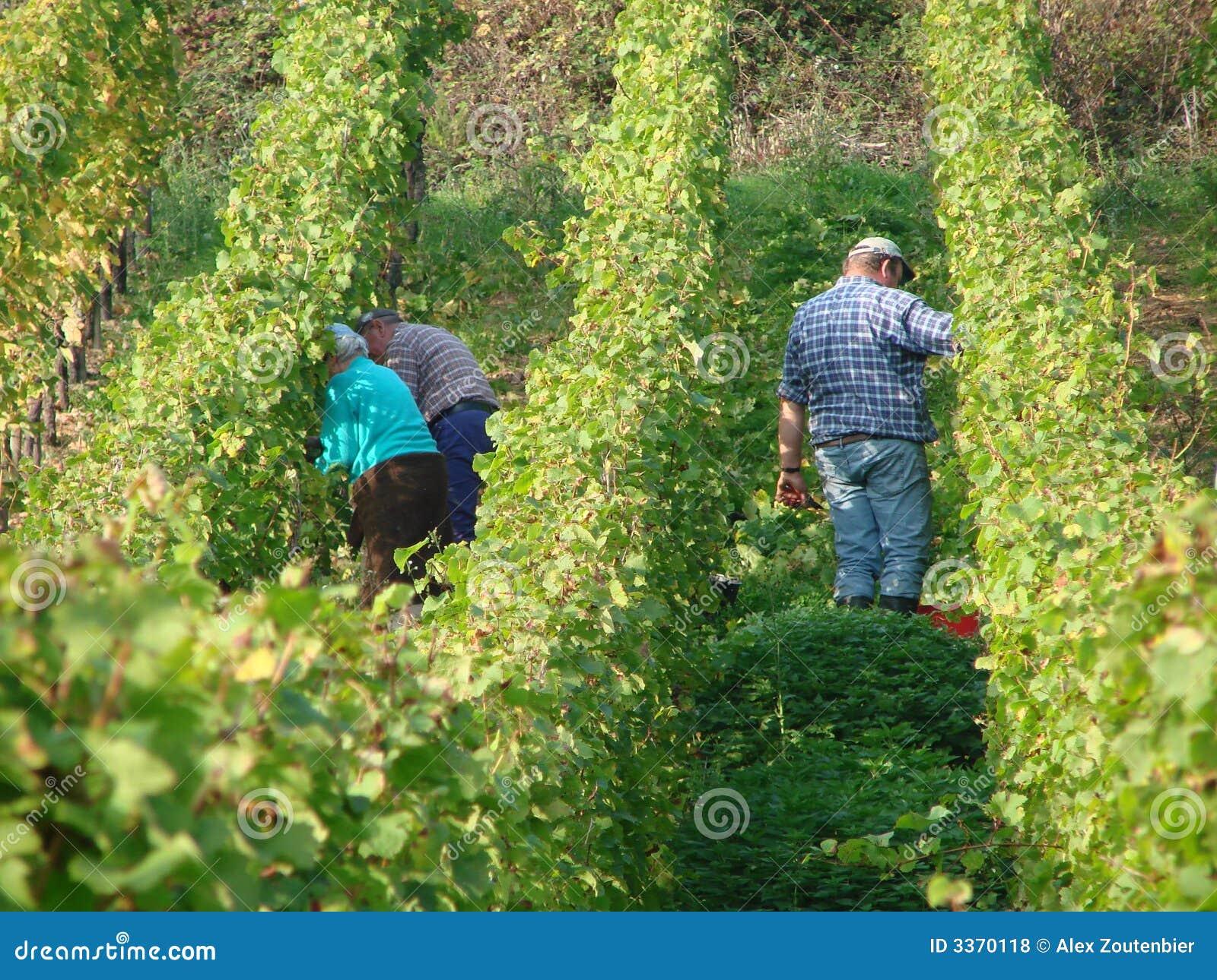 Odpowiedz German moezel wino