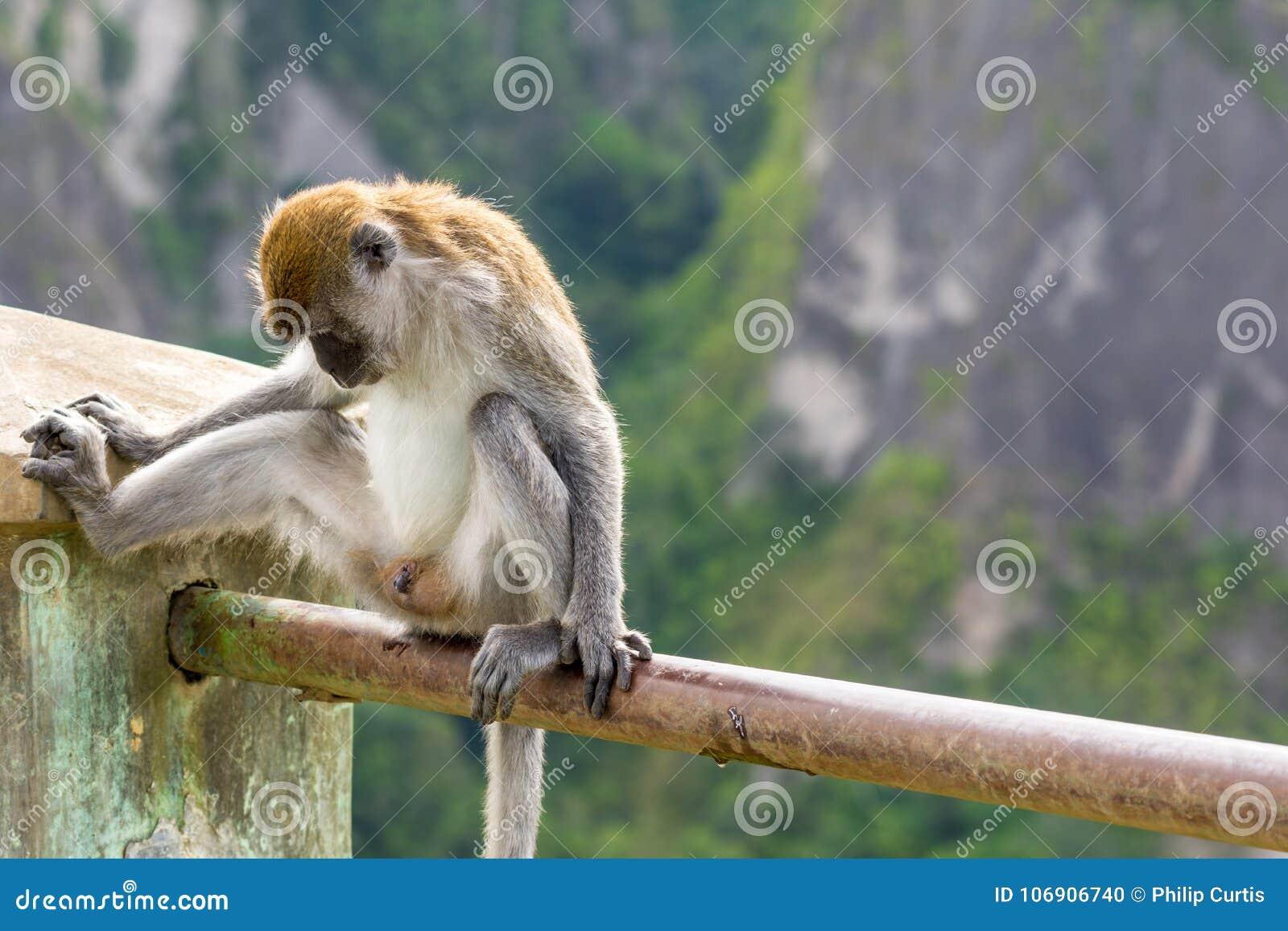 Odsłonięta umieszczająca makak małpa