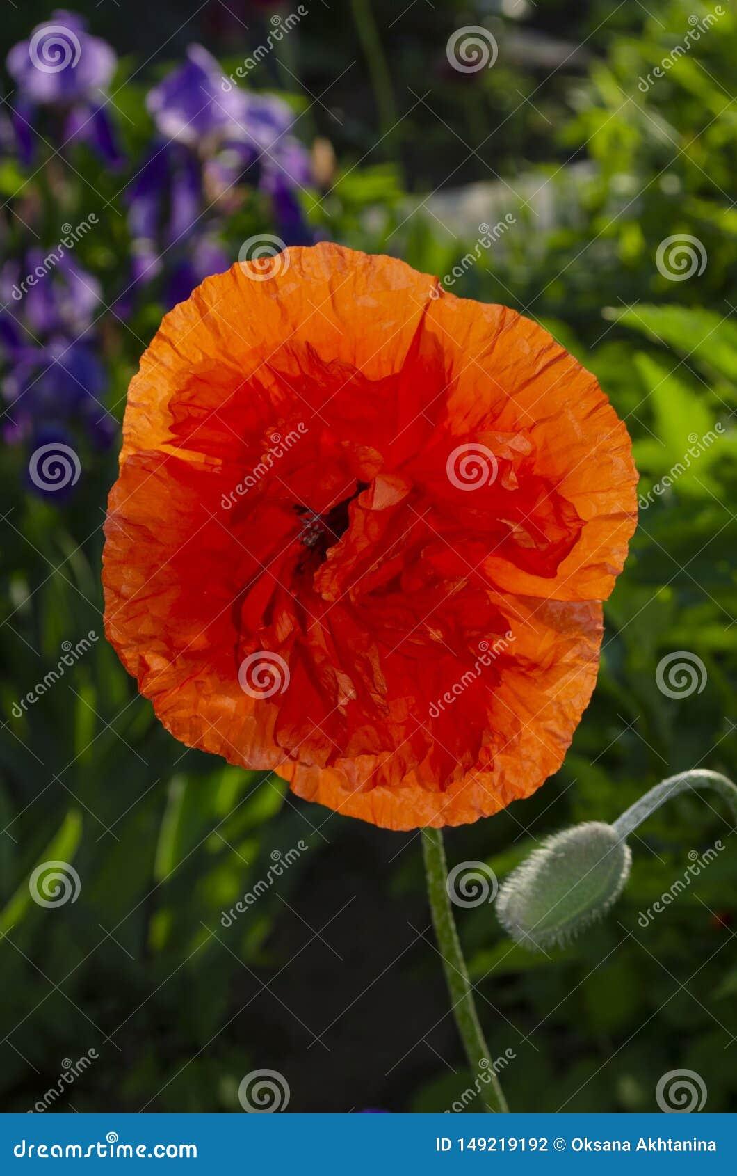 Odwiecznie orientalny ornamentacyjny maczek - popularna roślina która r w parkach