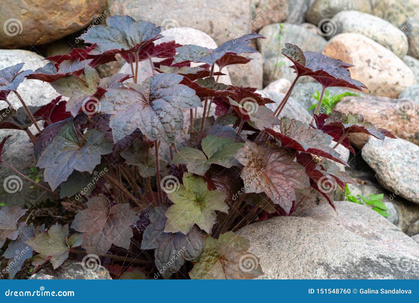 Odwiecznie rośliny heuchera hybryd znać jako ałunu korzeń w rockery w ogródzie