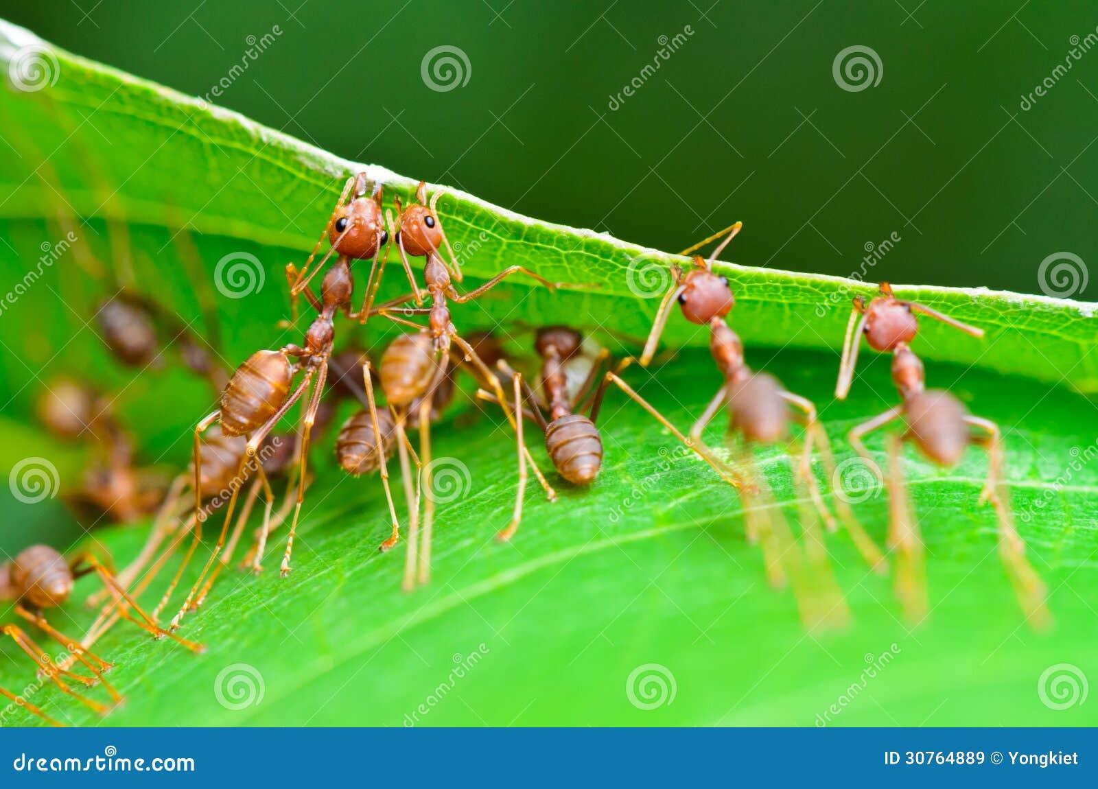 Oecophylla smaragdina (gemensamma namn inkluderar Weaver Ant,