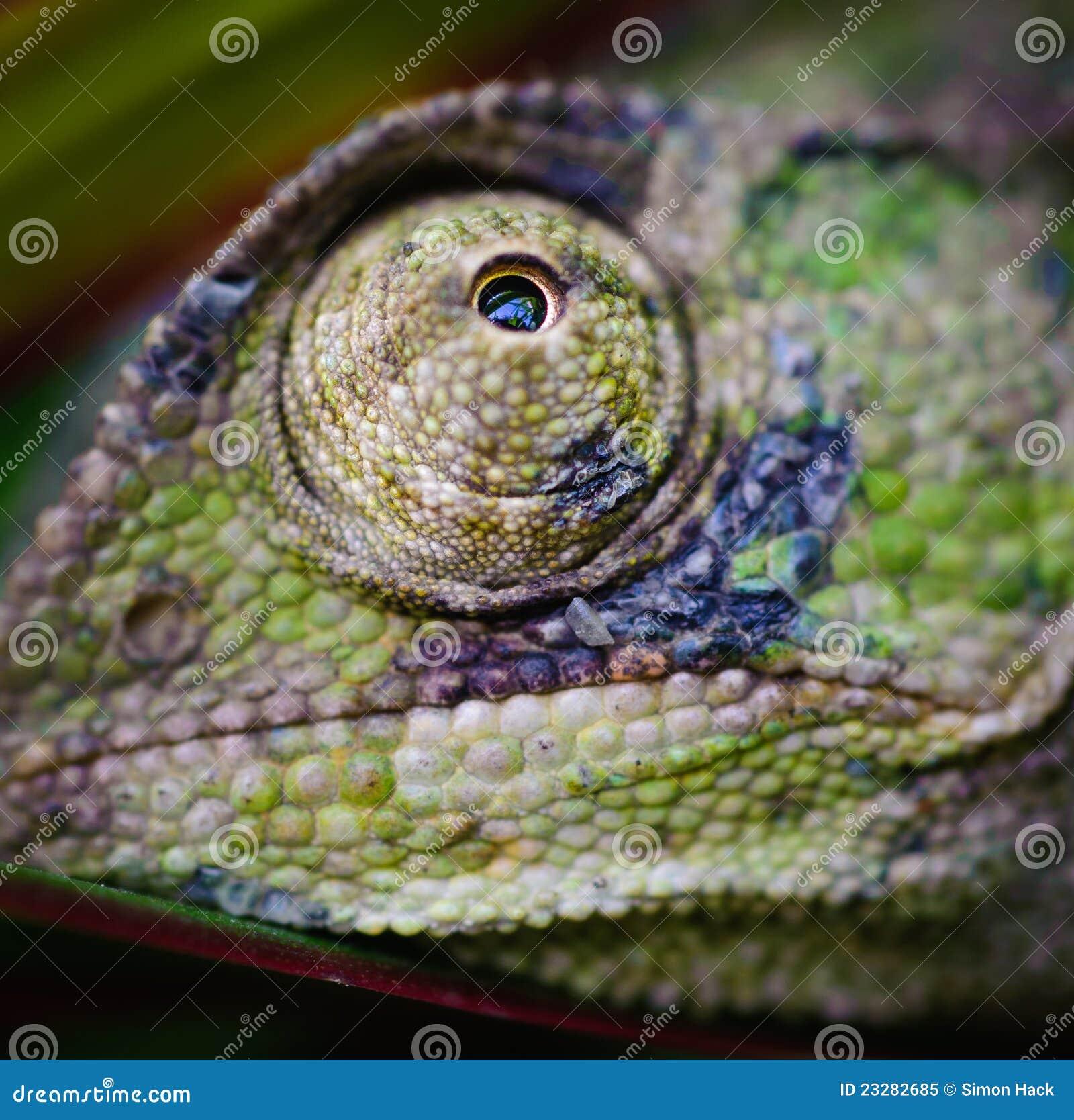 Oeil 5 de caméléons