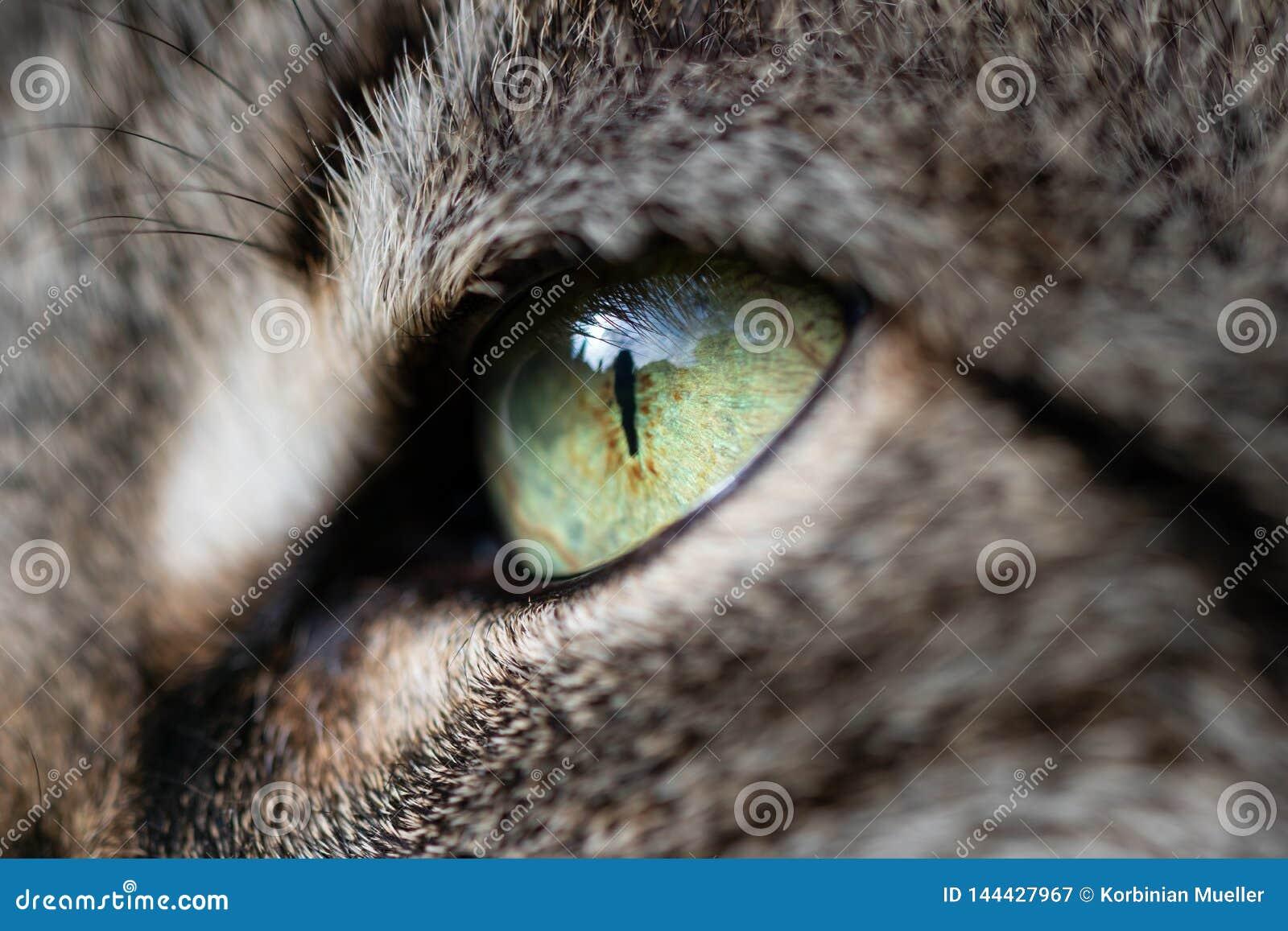 Oeil d un chat en plan rapproché