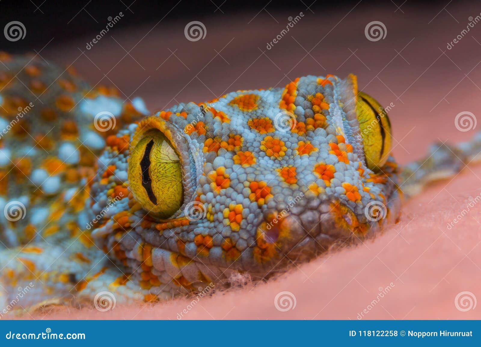 Oeil de gecko
