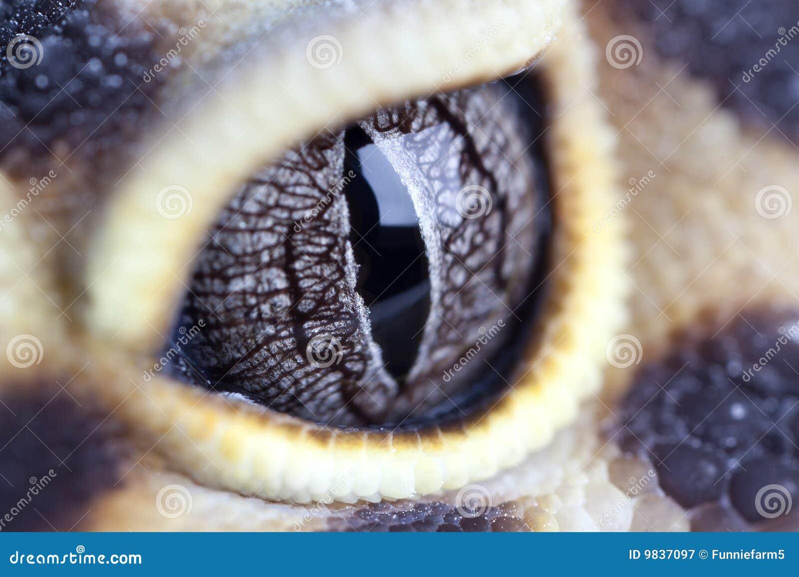 Oeil de Geckos
