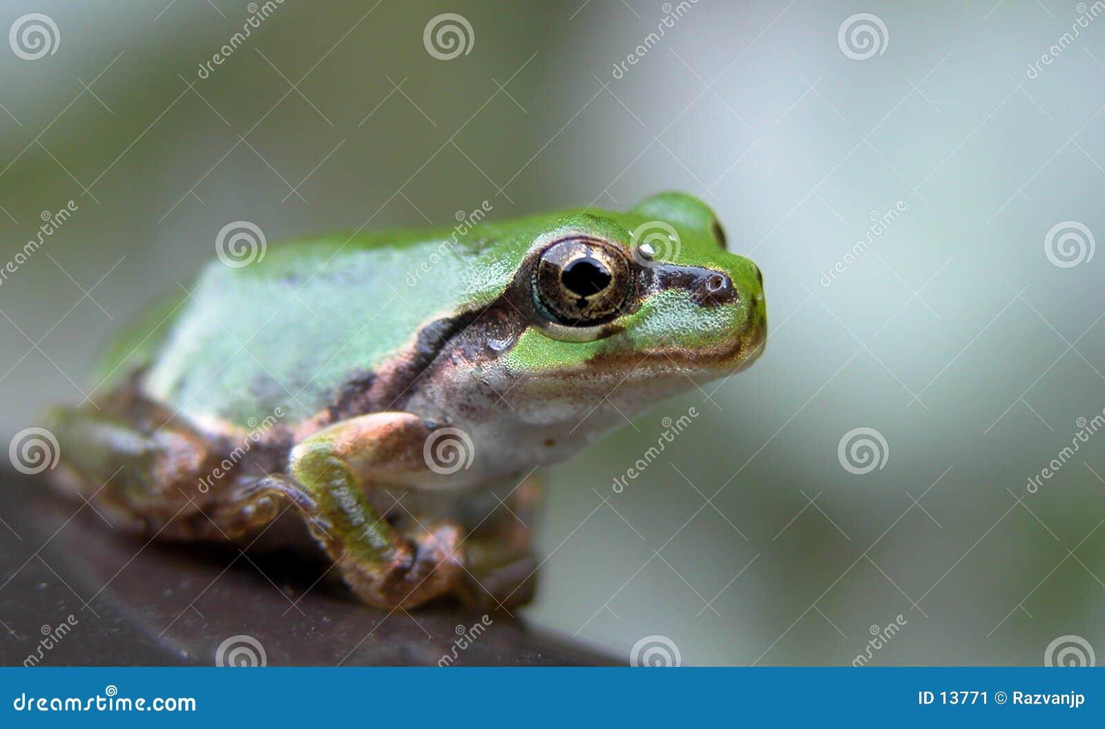Oeil de grenouille