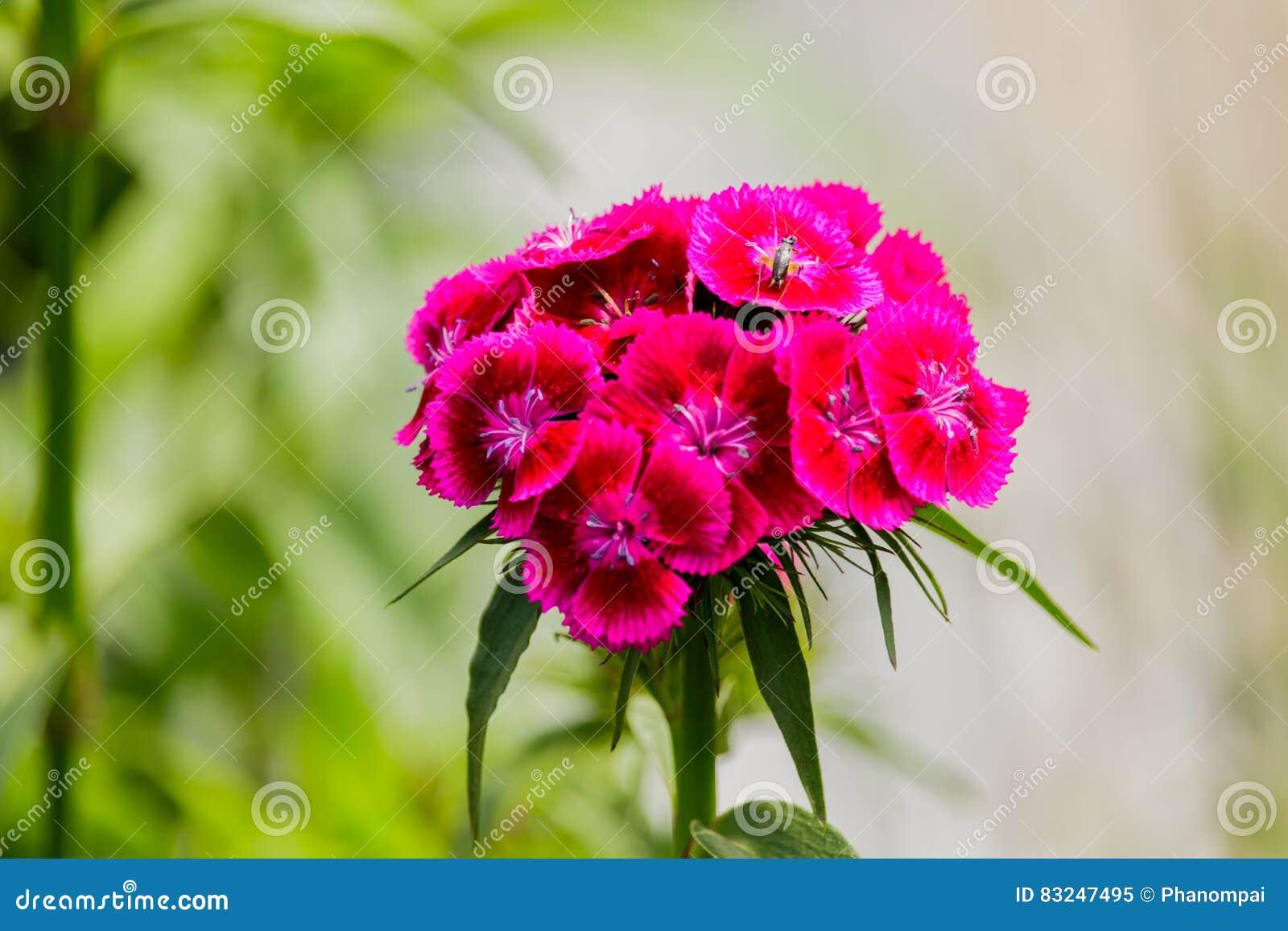 oeillet rose de fleur d'oeillet chinensis dans le jardin photo