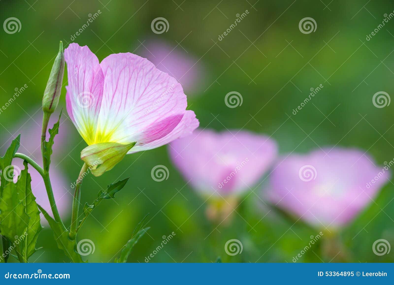 Oenothère biennale rose (speciosa d oenothera)