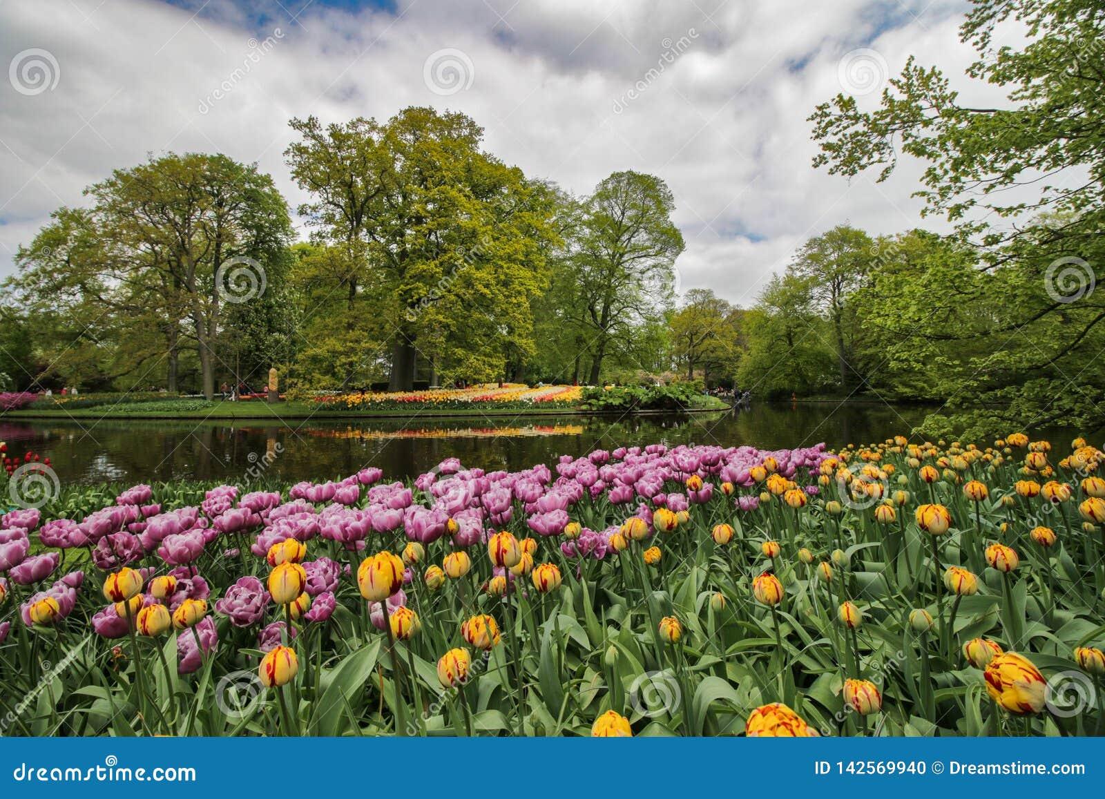 Oever van het meertuin met gele en purpere tulpen
