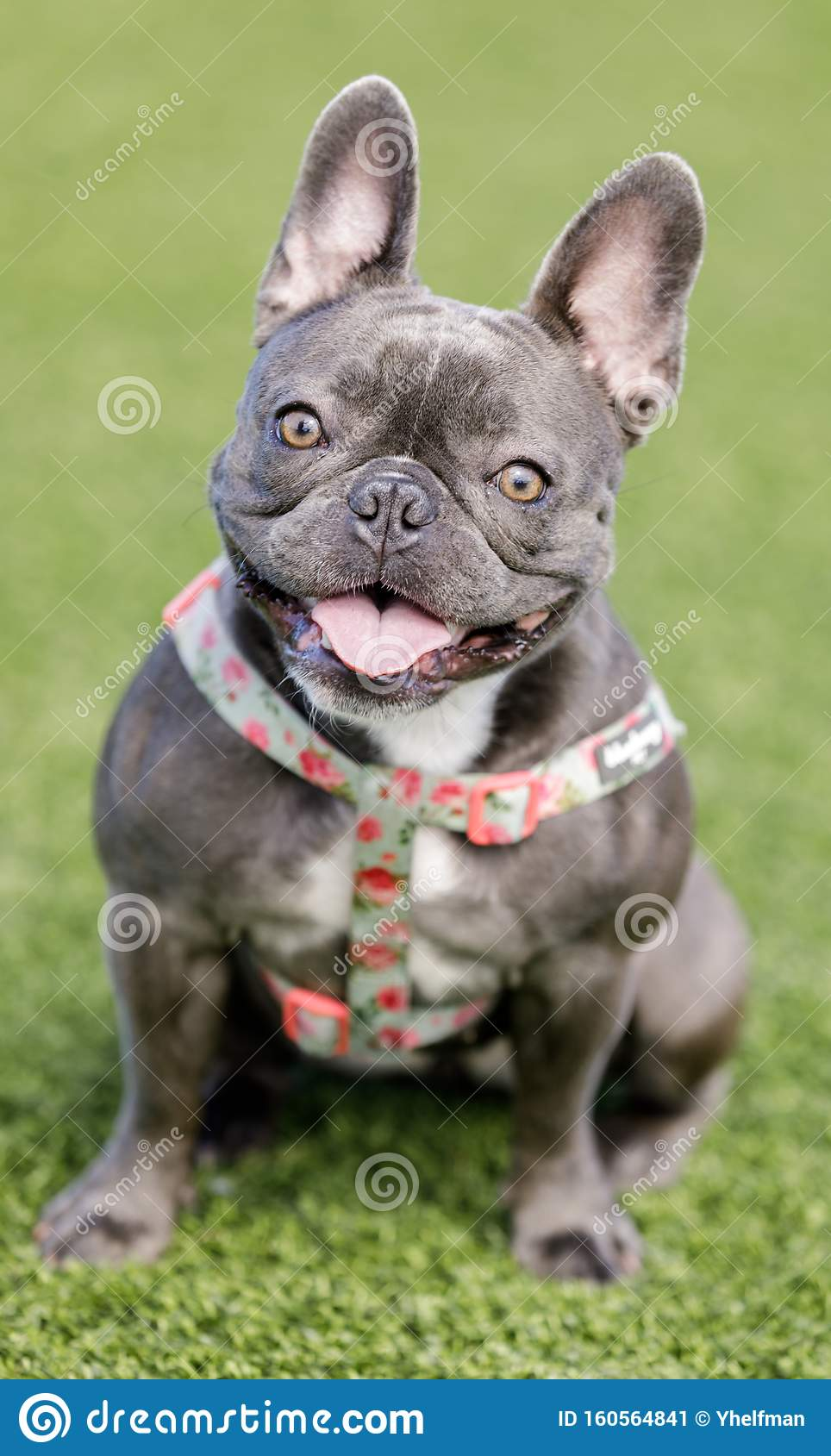 Blue French Bulldog Puppy Female Sitting And Posing Stock Image Image Of Dogs Black 160564841