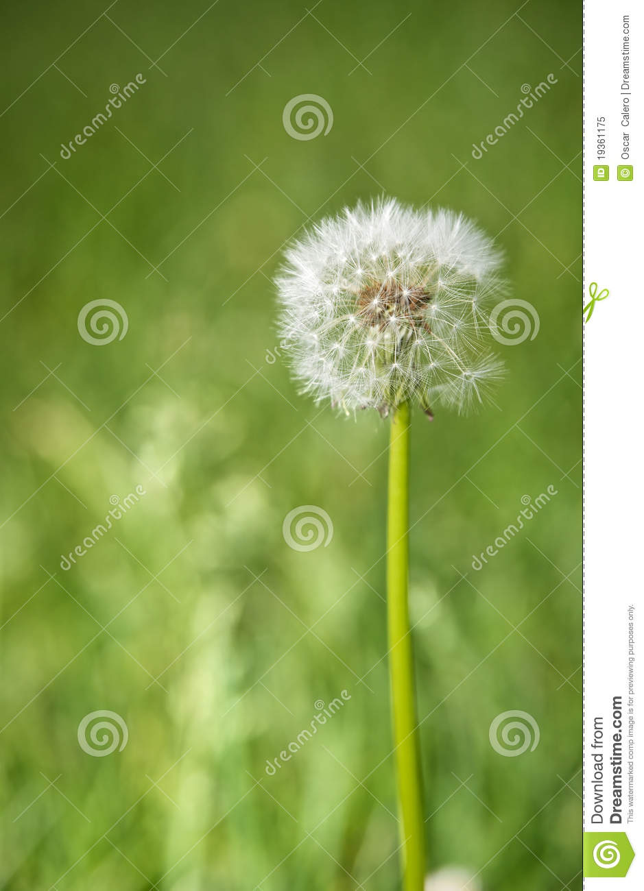 Officinale do Taraxacum