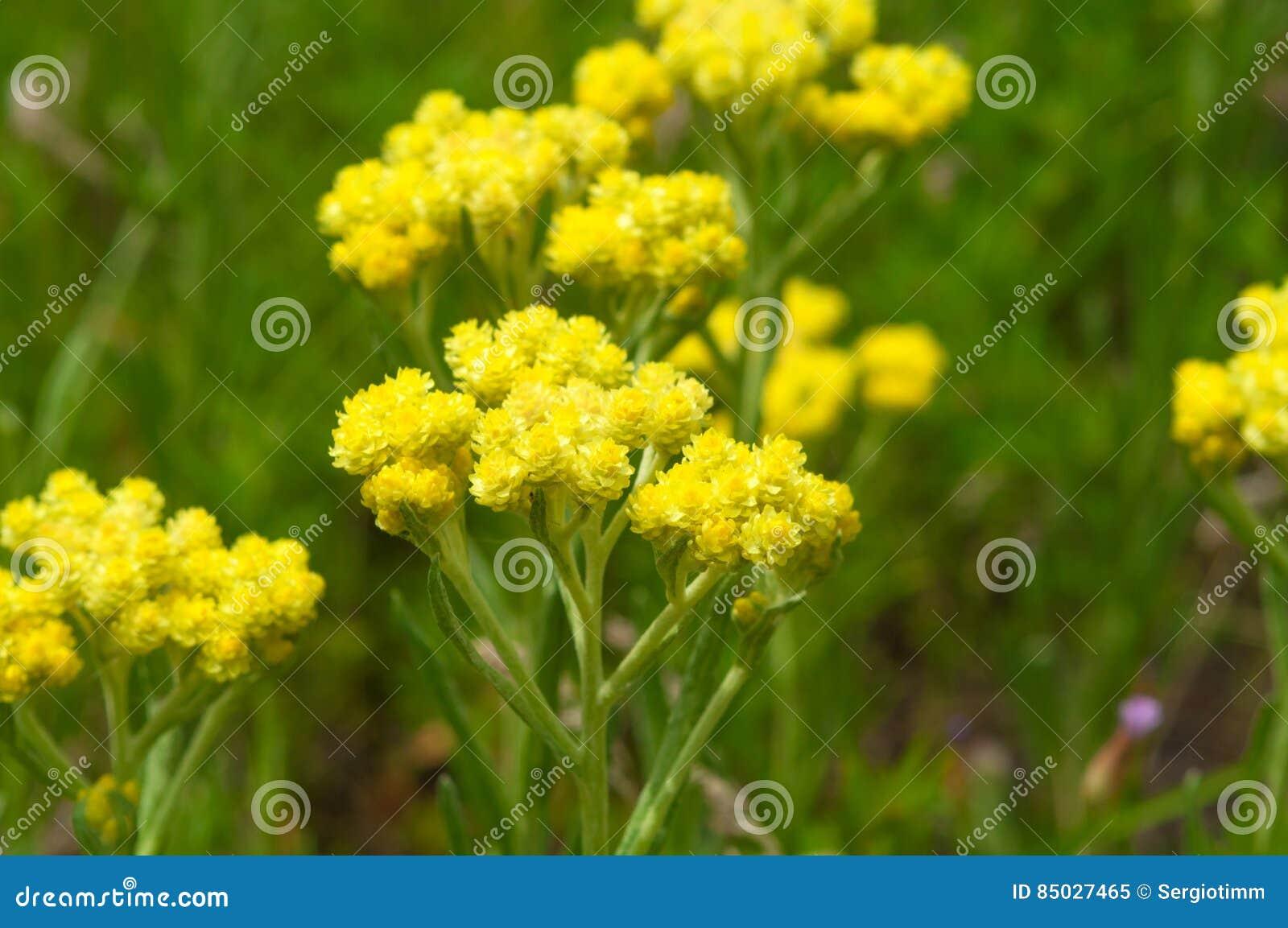 Officinalis Jaunissent L Immortelle De Fleurs Sur Le Fond Vert