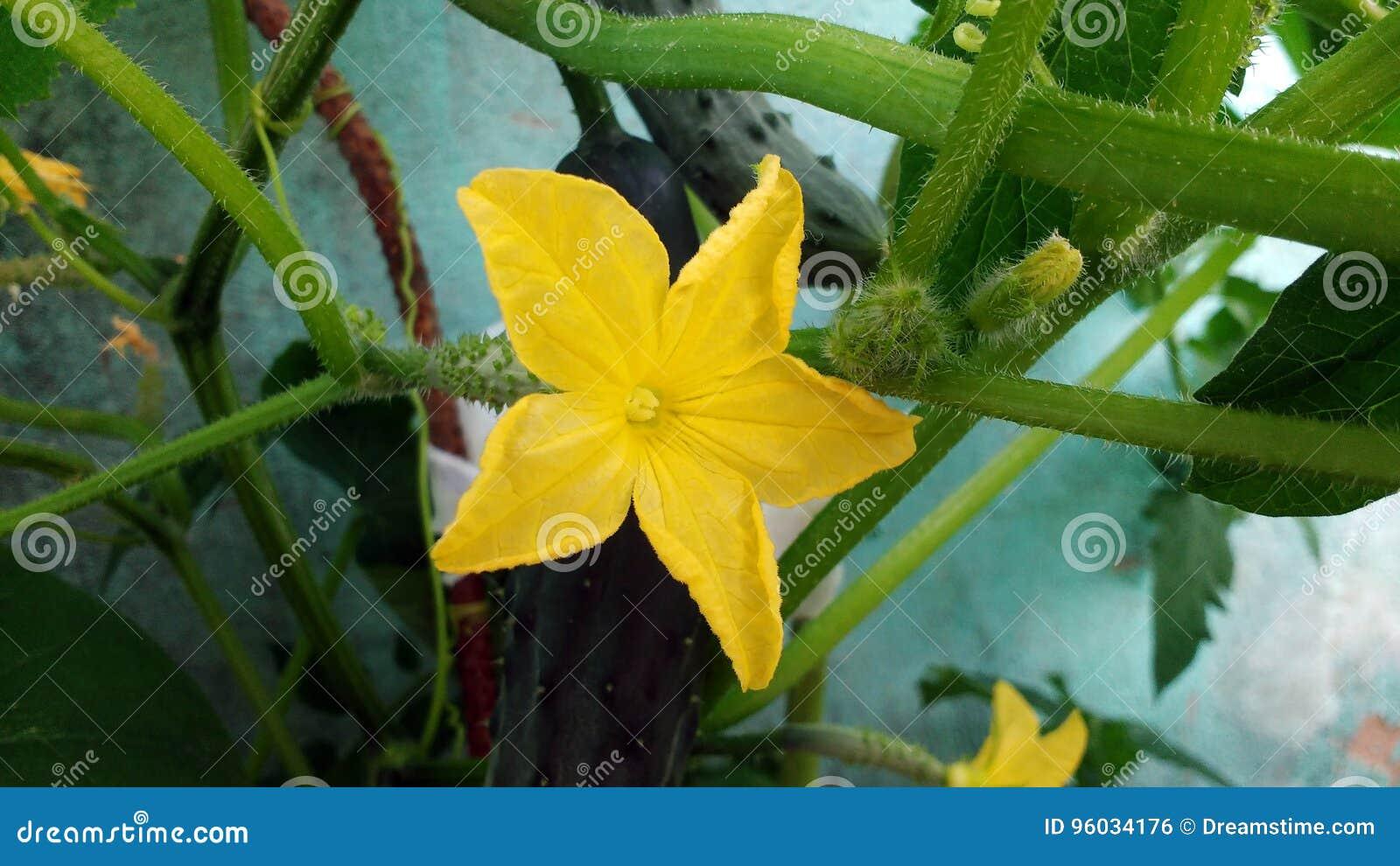 Ogórkowy kwiat