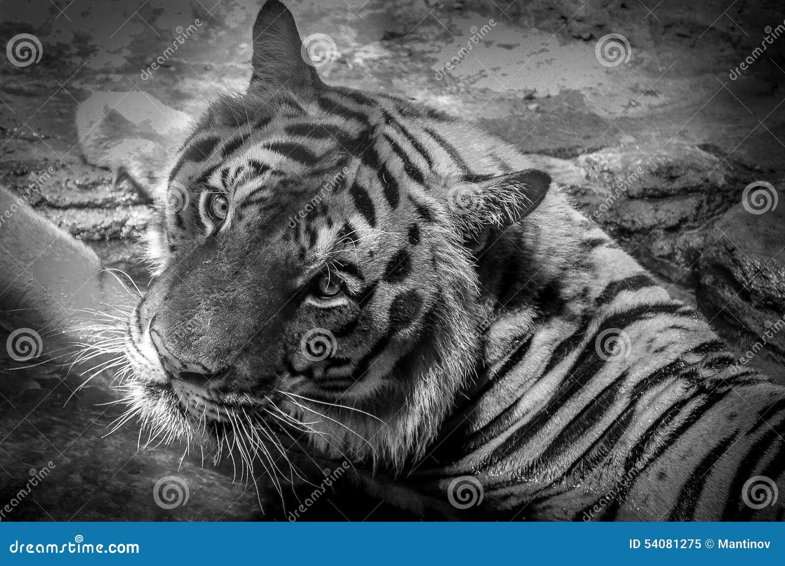 Ogen van de tijger