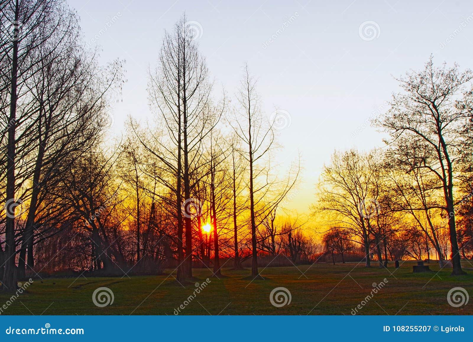 Ogniści drzewa
