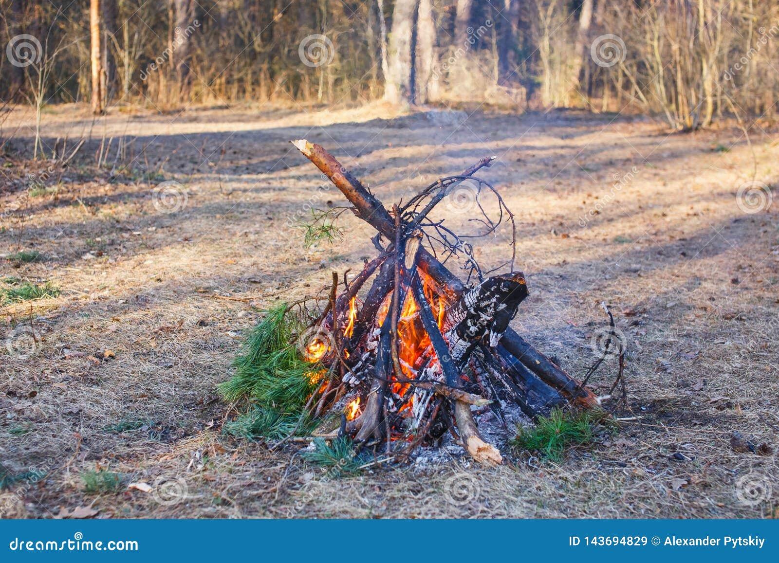 Ognisko sosna rozgałęzia się w wiosna lesie