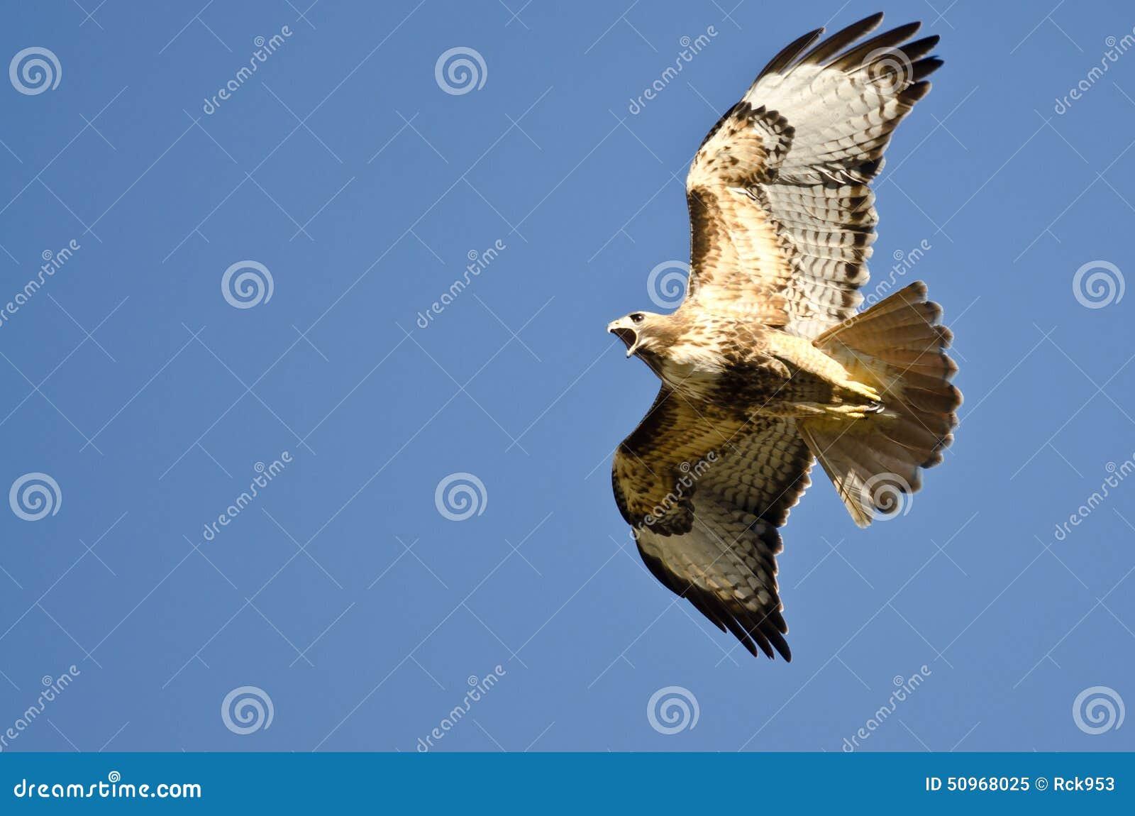 Ogonu jastrzębia latanie w niebieskim niebie