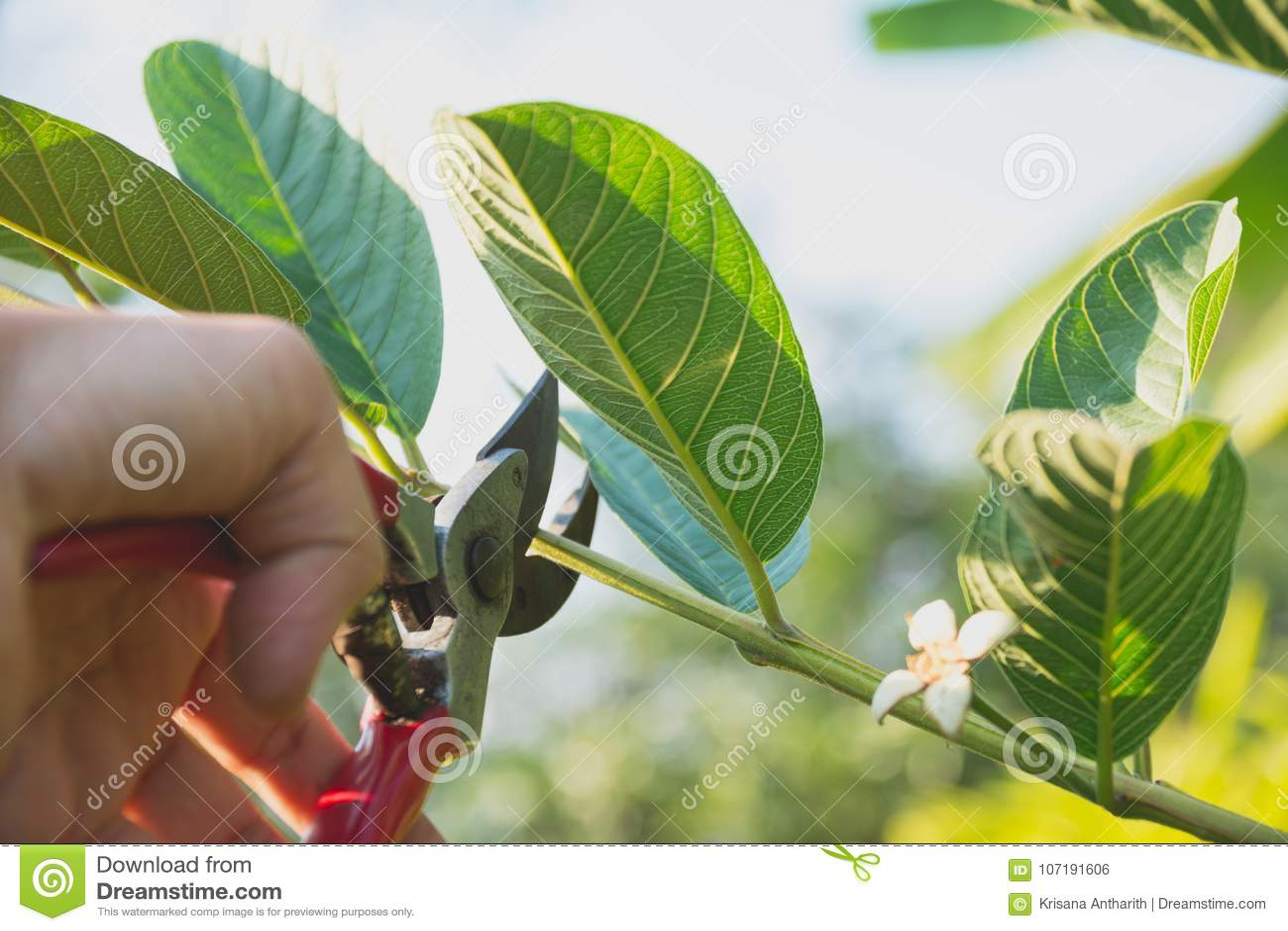 Ogrodniczka przycina drzewa z przycinać strzyżenia na natury tle