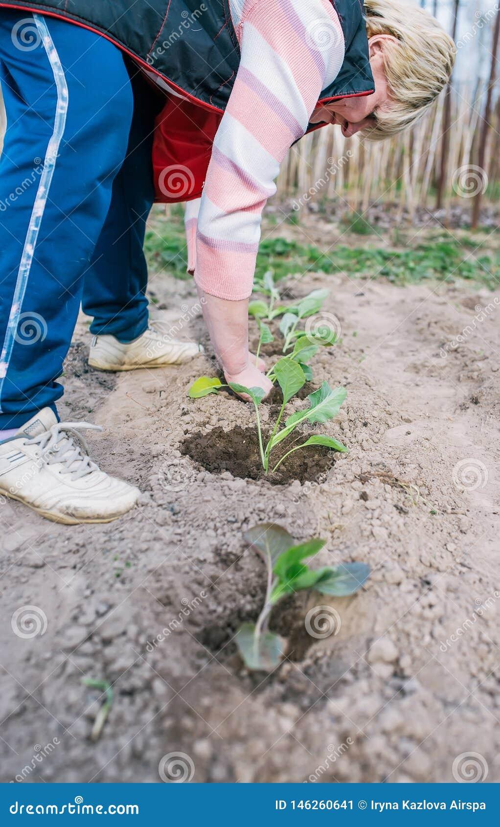 Ogrodniczka zasadza kapuścianej rozsady w jarzynowym ogródzie Pionowo sk?ad
