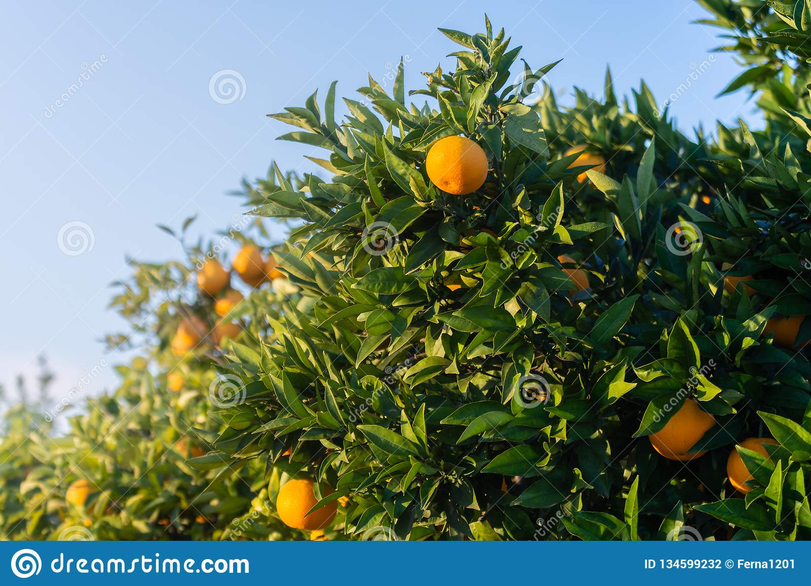 Ogrodowa pomarańcze Szczegół pomarańcze na drzewie Hiszpańska owoc