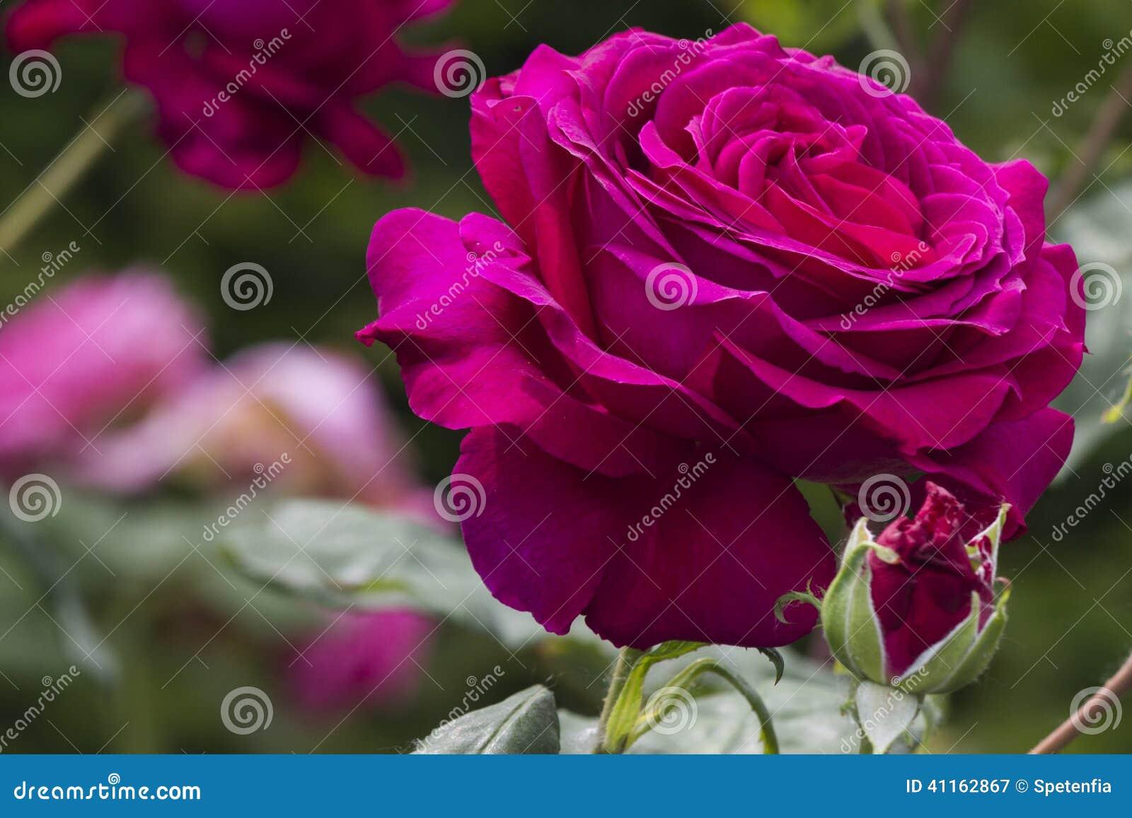 Ogrodowe róże