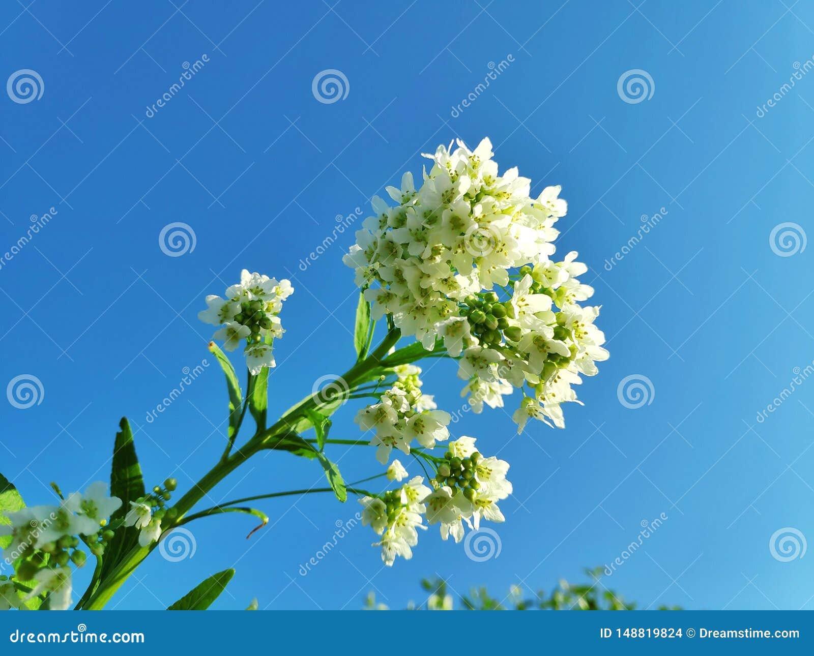 Ogrodowi horseradish kwiaty, zmierzch
