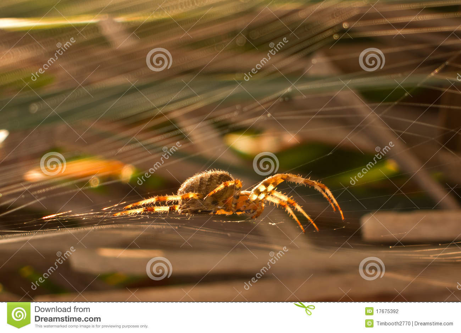 Ogrodowy pająk
