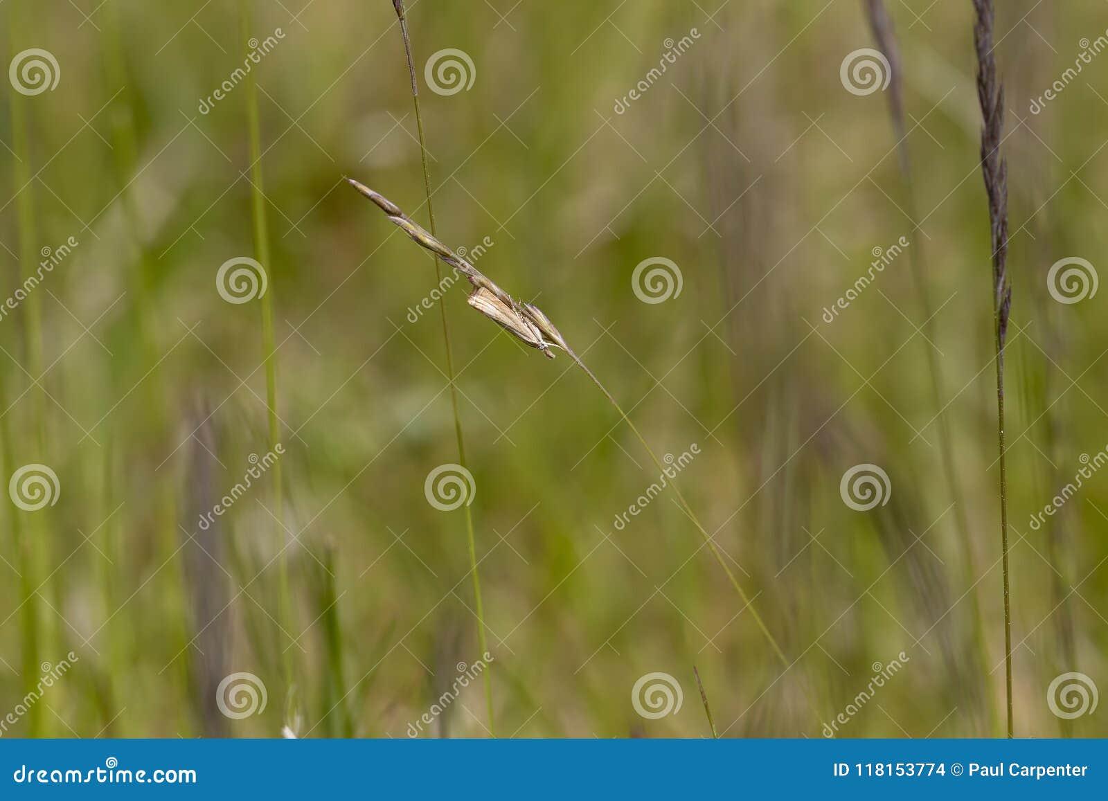 Ogrodowy trawa forniru ćma, Chrysoteuchia culmella, odpoczywa na ostrzu trawa, scotla gdy ono kiwa w lekkim wiatrze na słonecznym