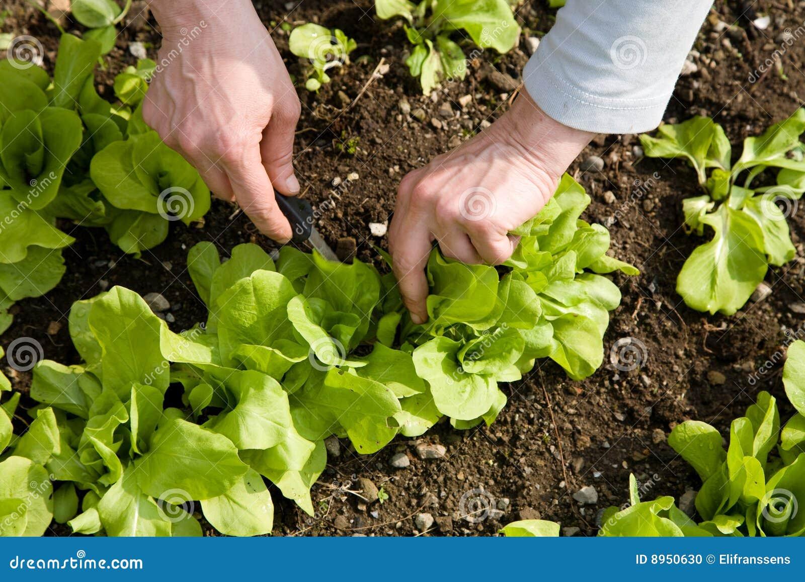 Ogrodowy warzywo
