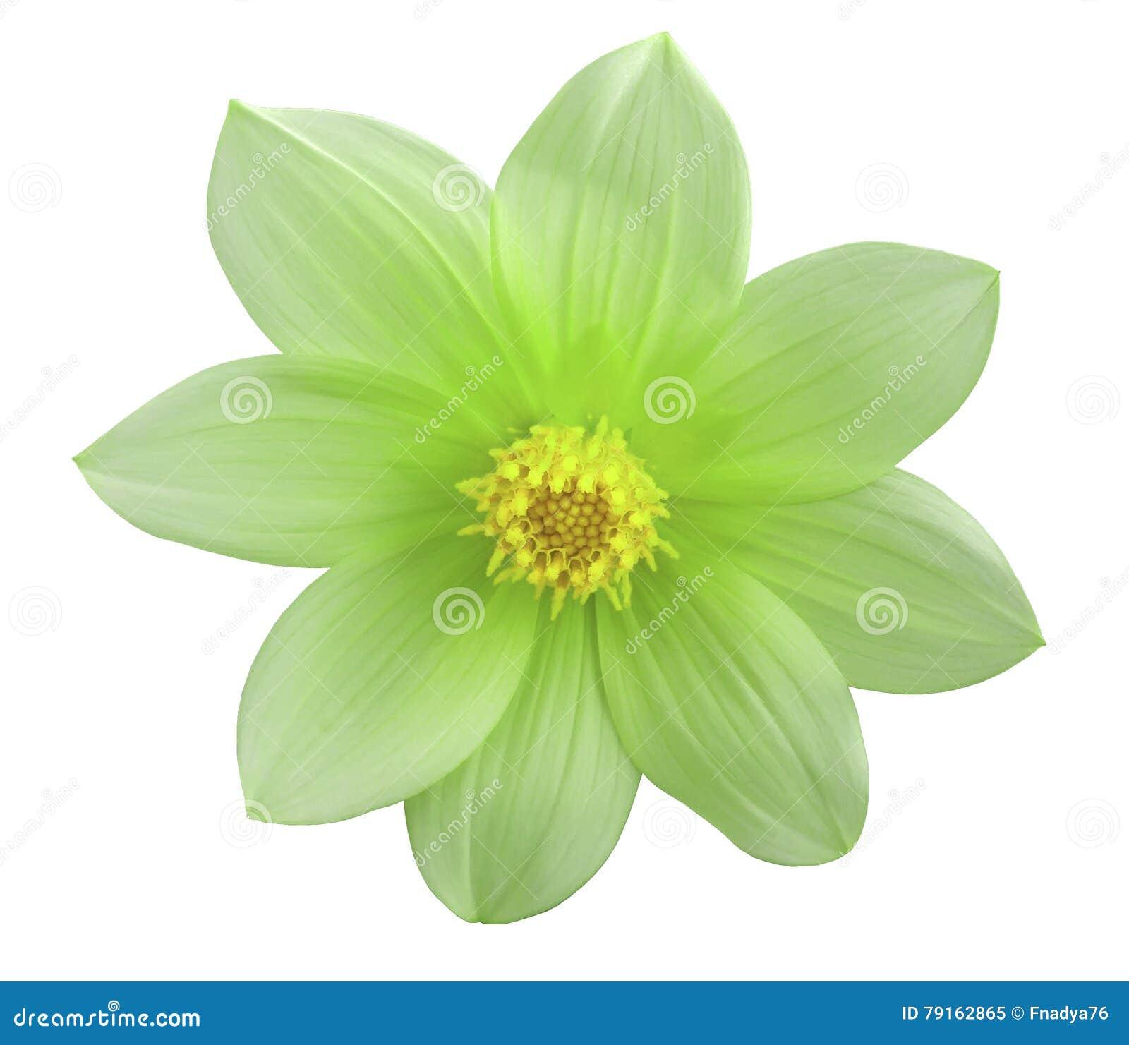 Ogrodowy zielony kwiat, biały odosobniony tło z ścinek ścieżką zbliżenie