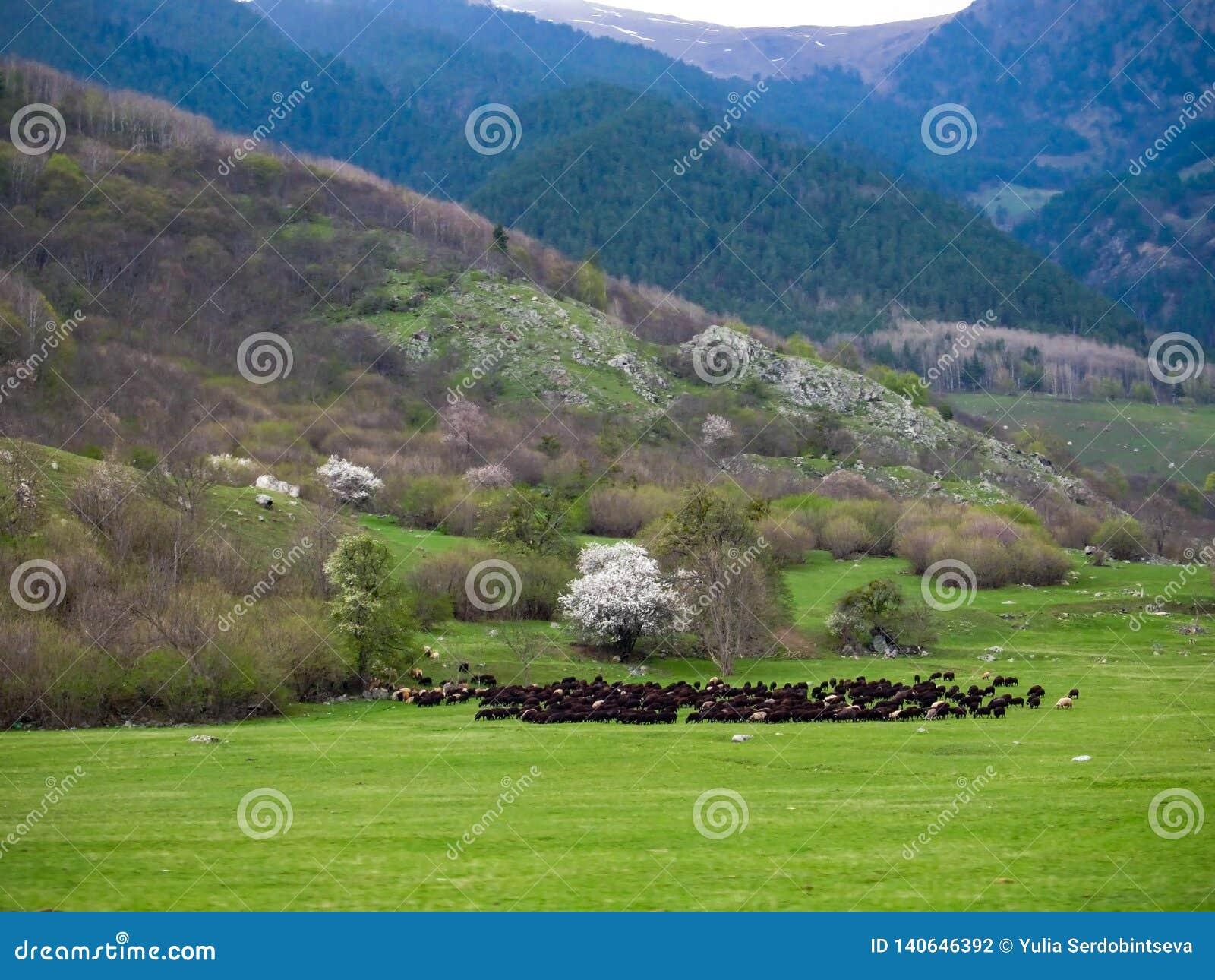 Ogromny stado dzikich cakli pasanie w łące w pogórzach góry