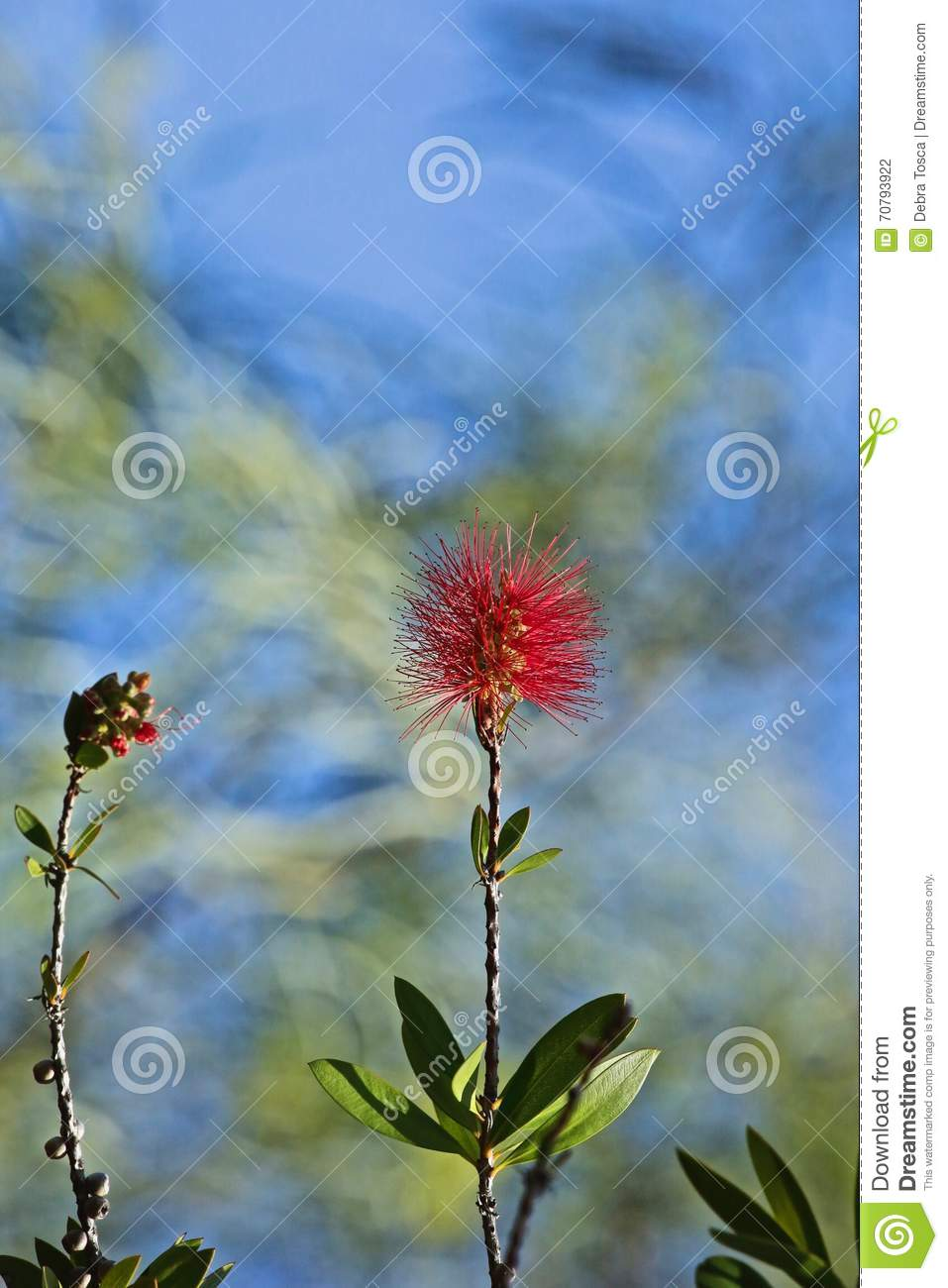 Red flowering tree ohi a metrosideros macropus stock photo image red fuzzy flowers shoot from branches of the hawaiian island native flowering eucalyptus tree izmirmasajfo
