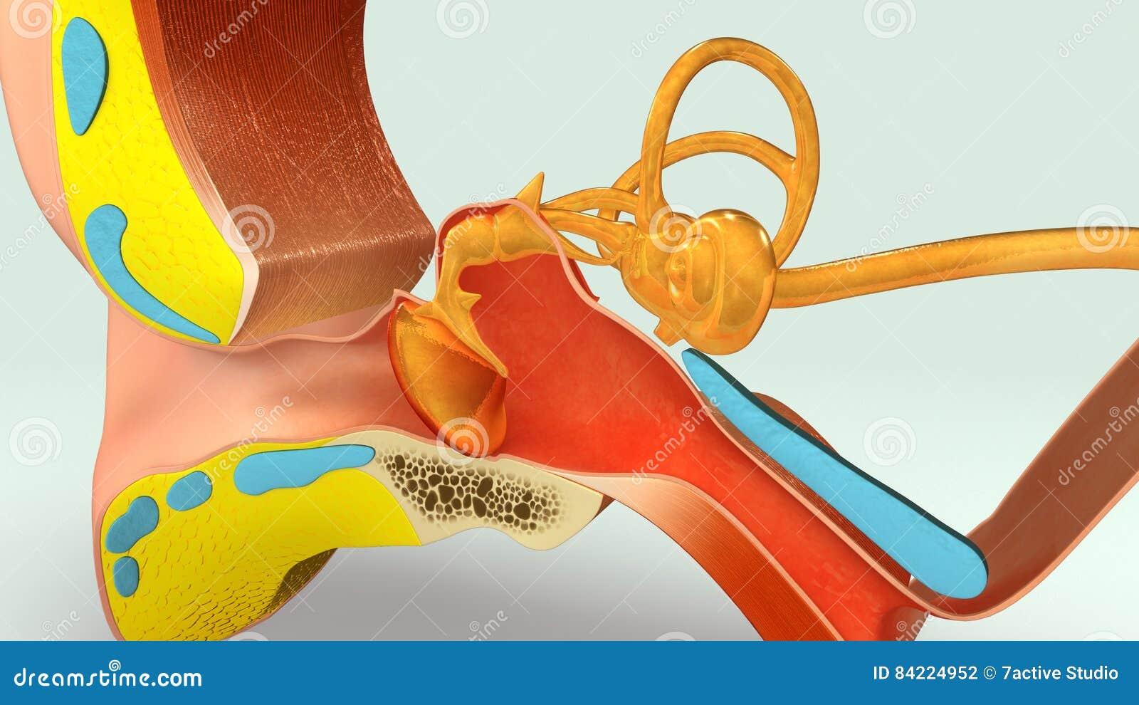Ohr-Abschnitt stock abbildung. Illustration von anatomie - 84224952