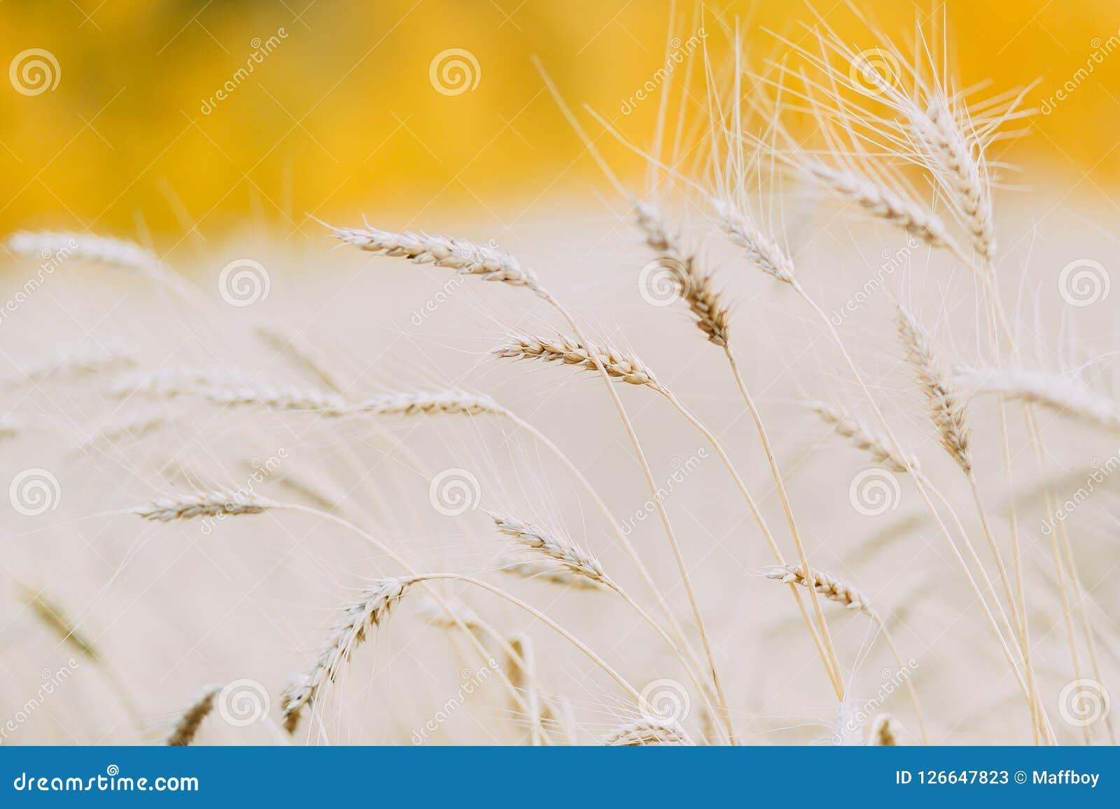 Ohr des Weizens auf einem Weizengebiet