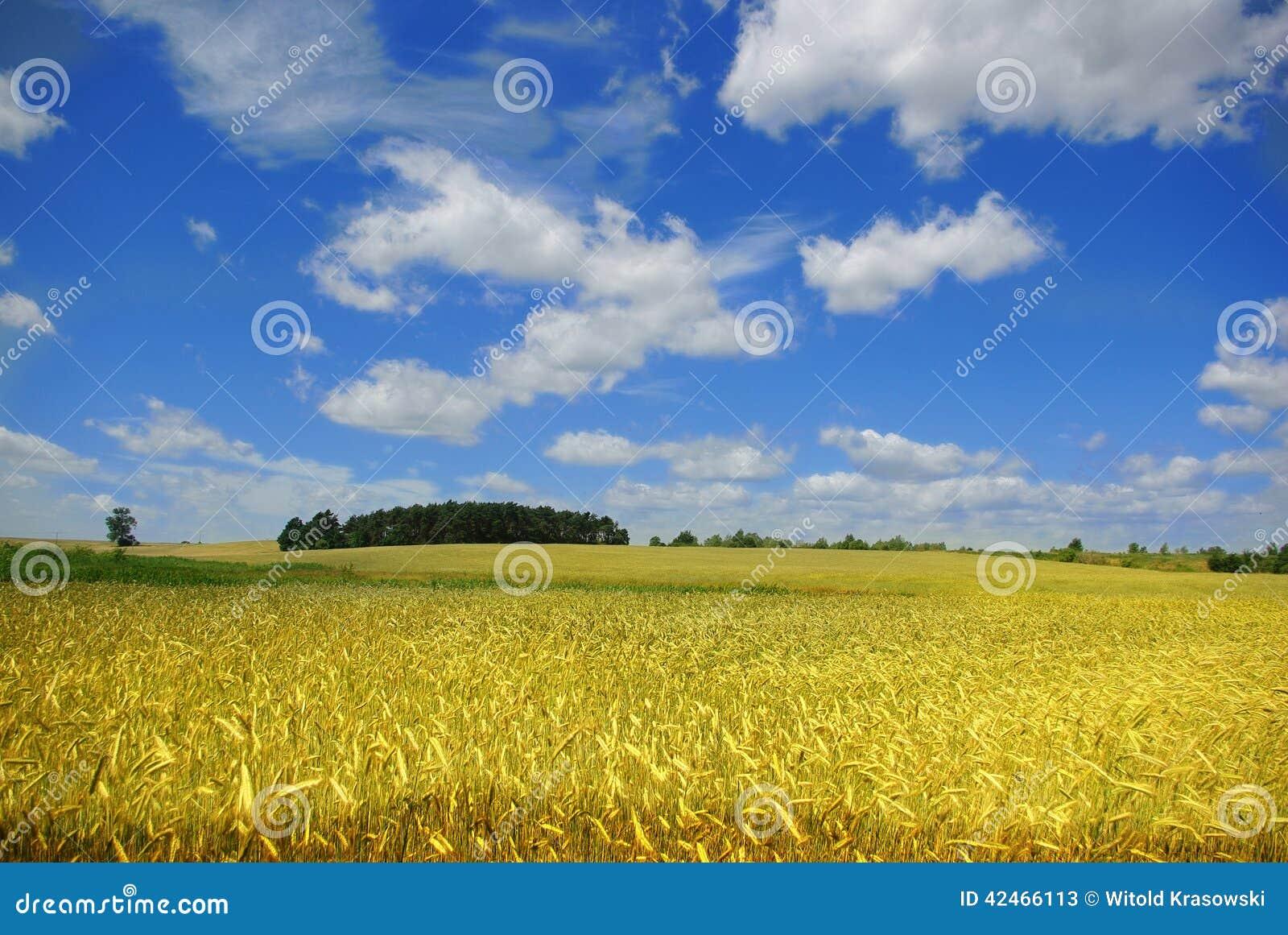 Ohren des Getreides