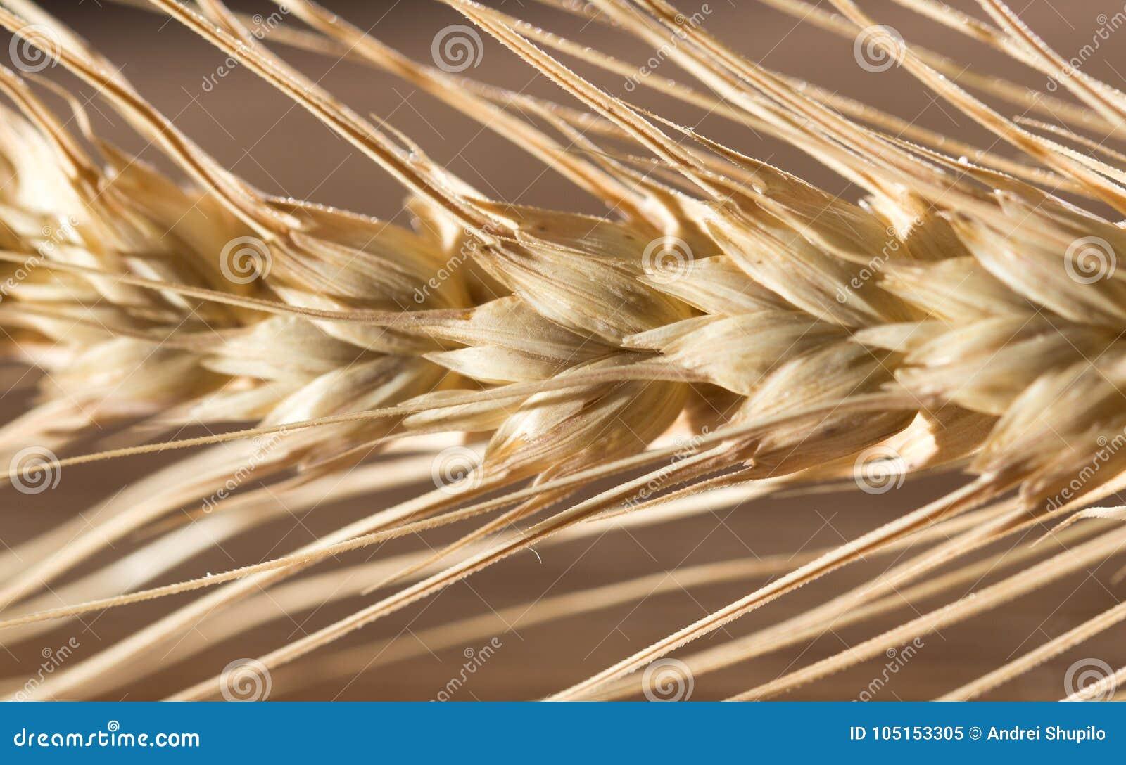 Ohren des Weizens Makro